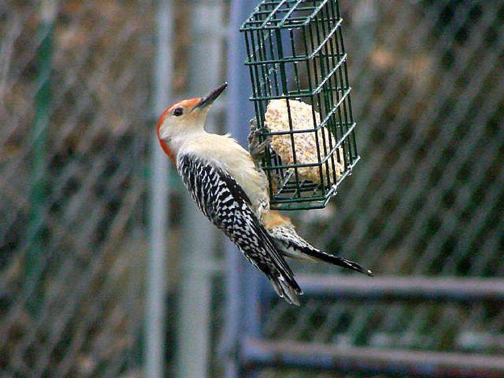 Red-bellied Woodpecker by pamela.raineri.1