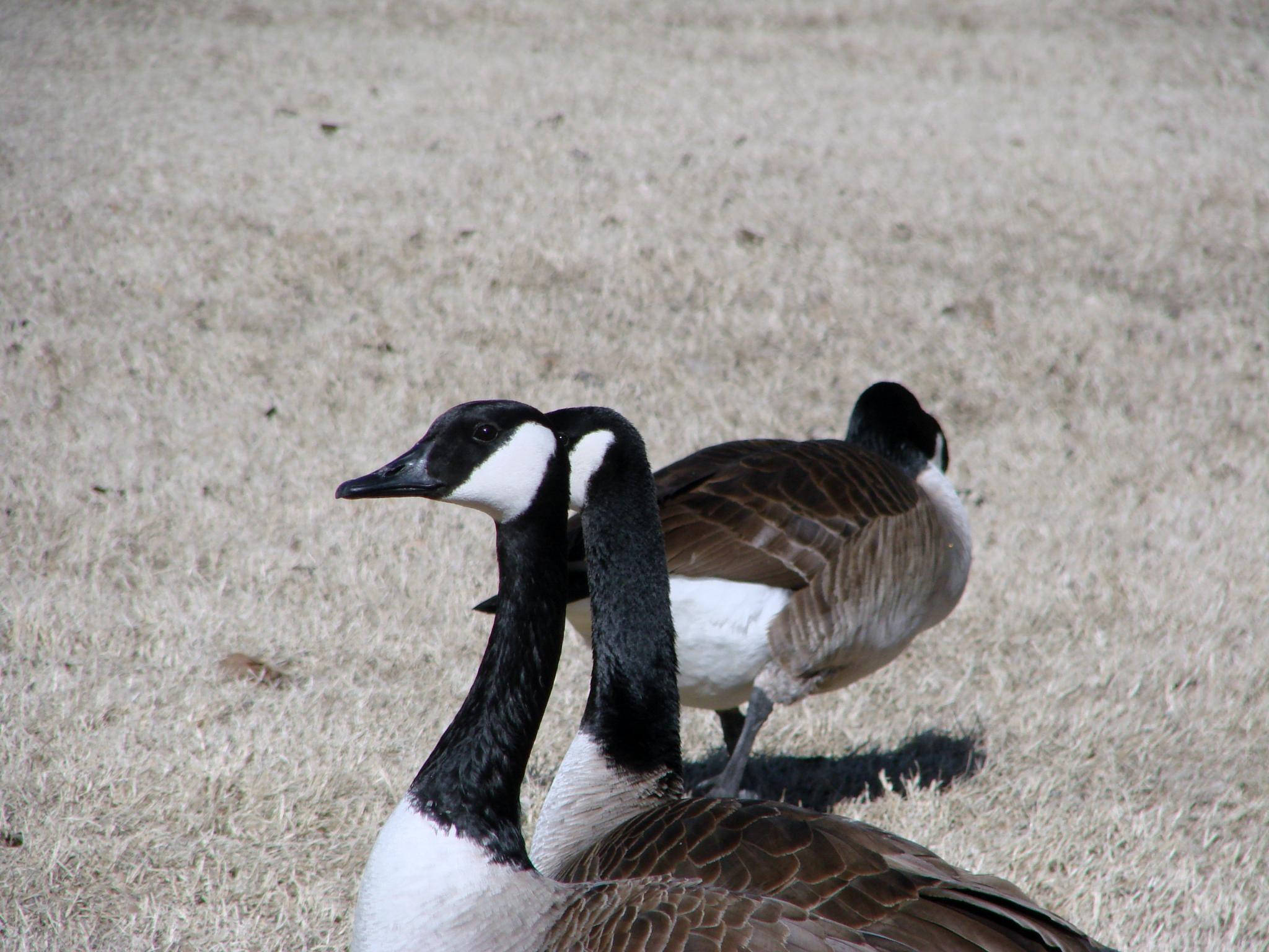 Canada geese by pamela.raineri.1