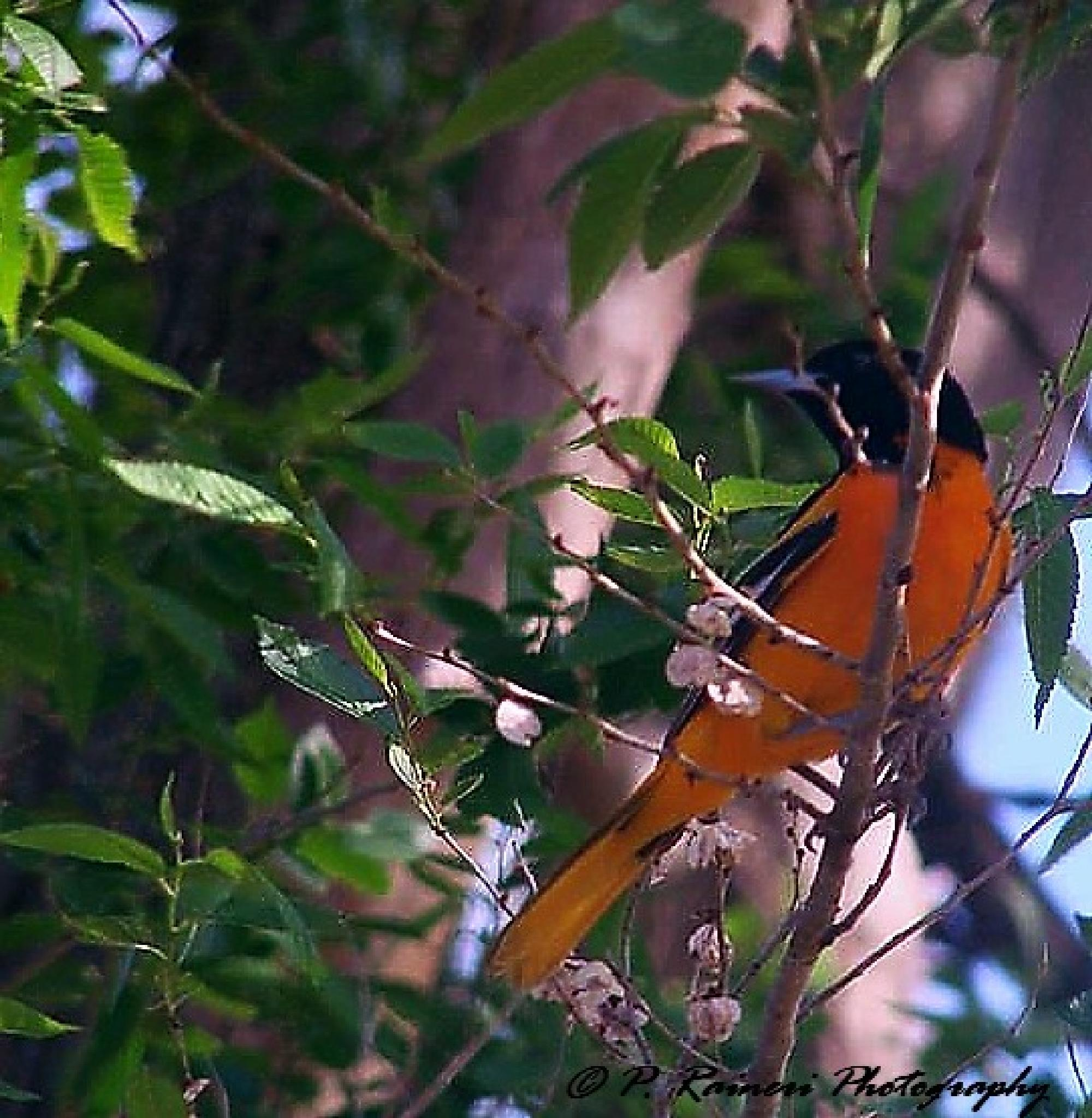 Baltimore Oriole by pamela.raineri.1