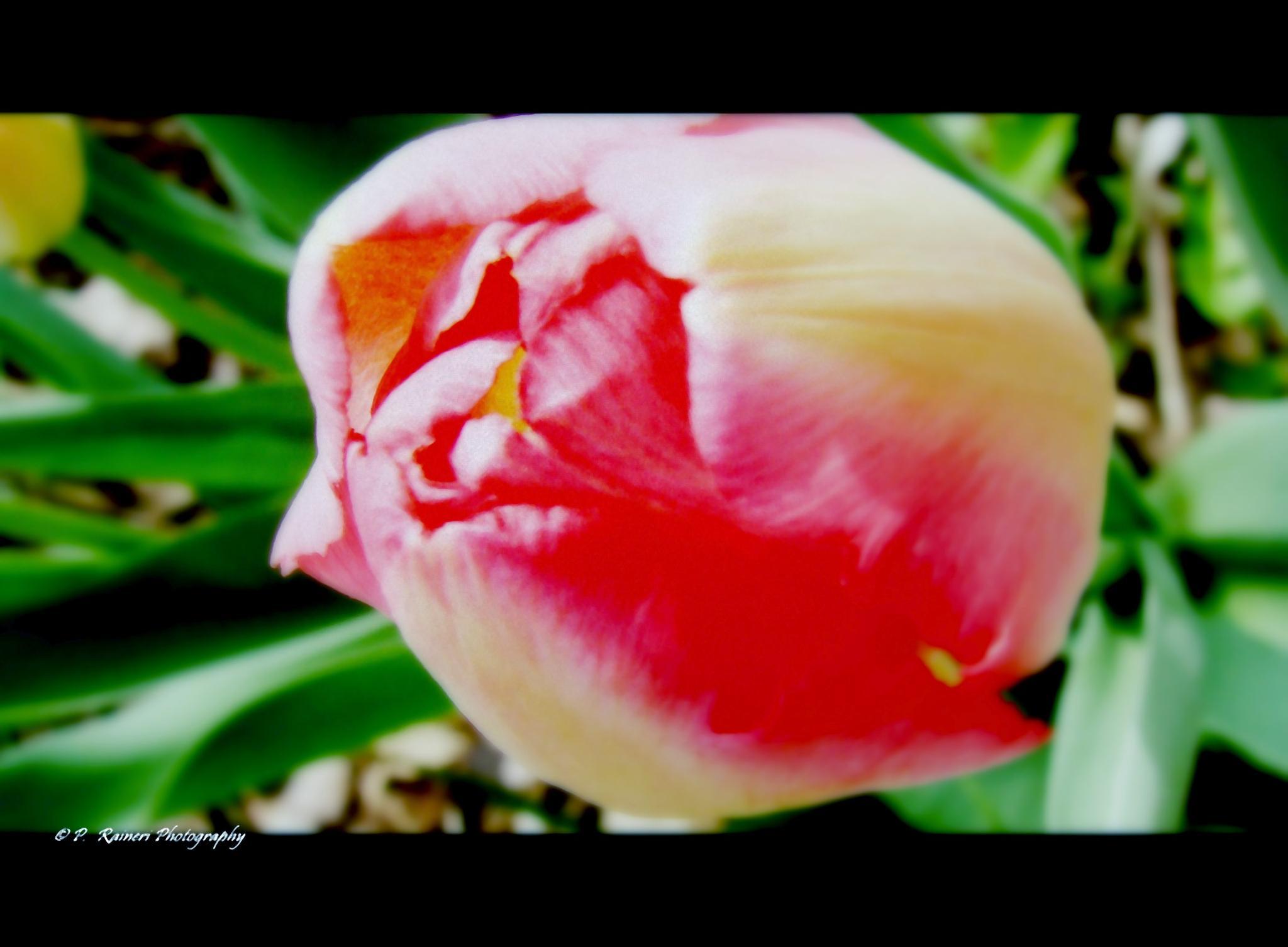 Tulip by pamela.raineri.1