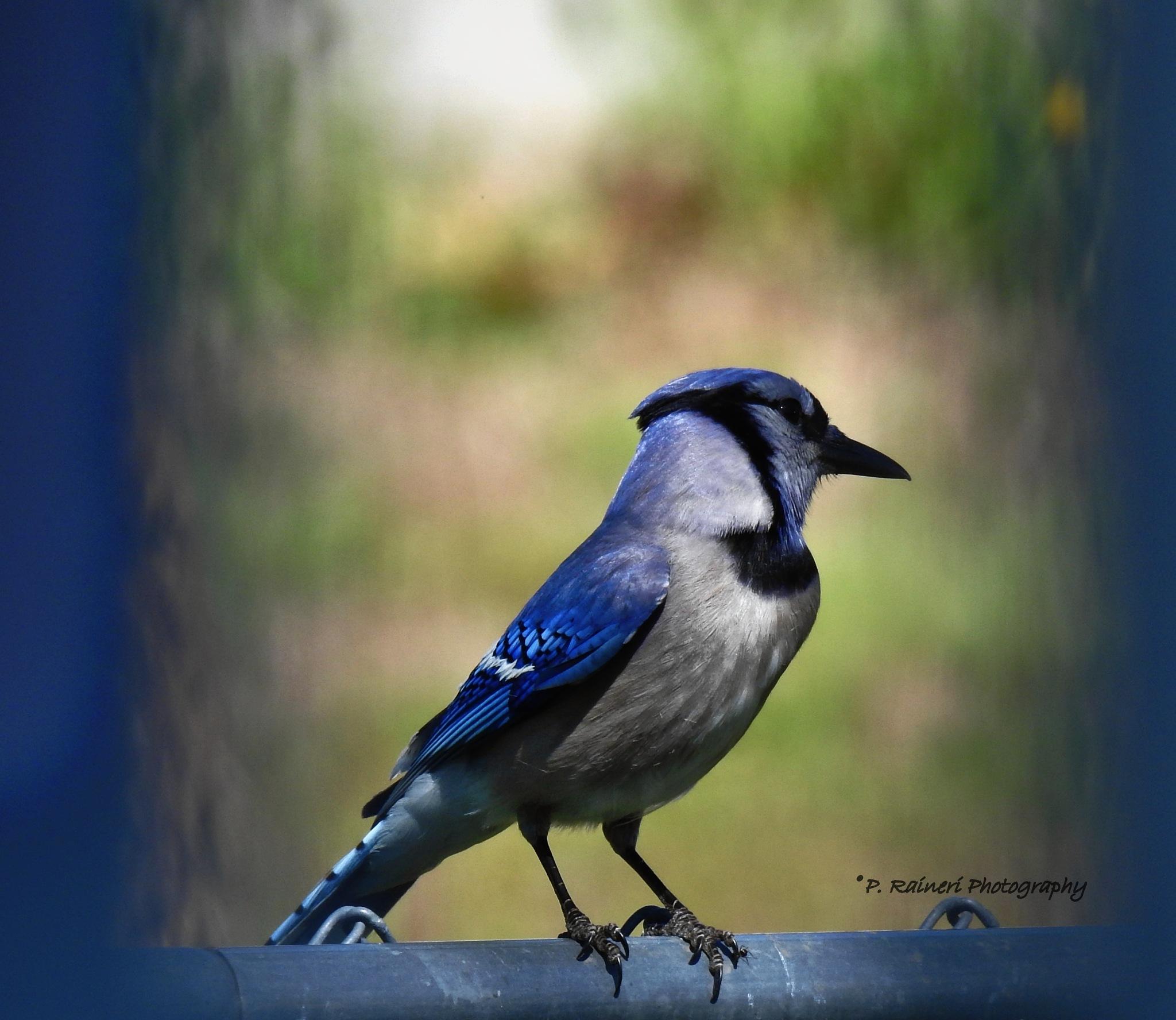 Blue Jay by pamela.raineri.1