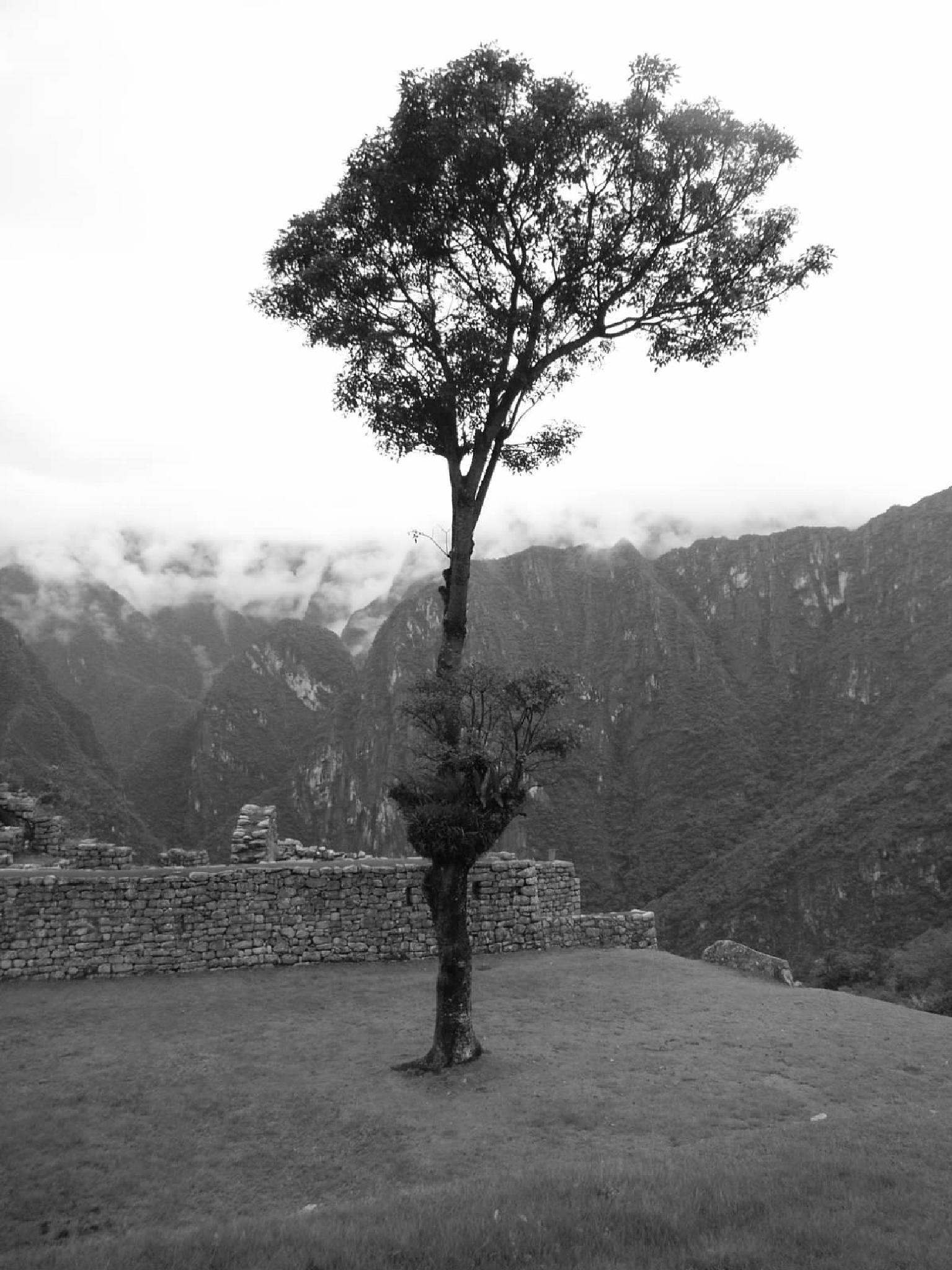 LONE TREE ON MACHU PICCHU by Aimee Byron