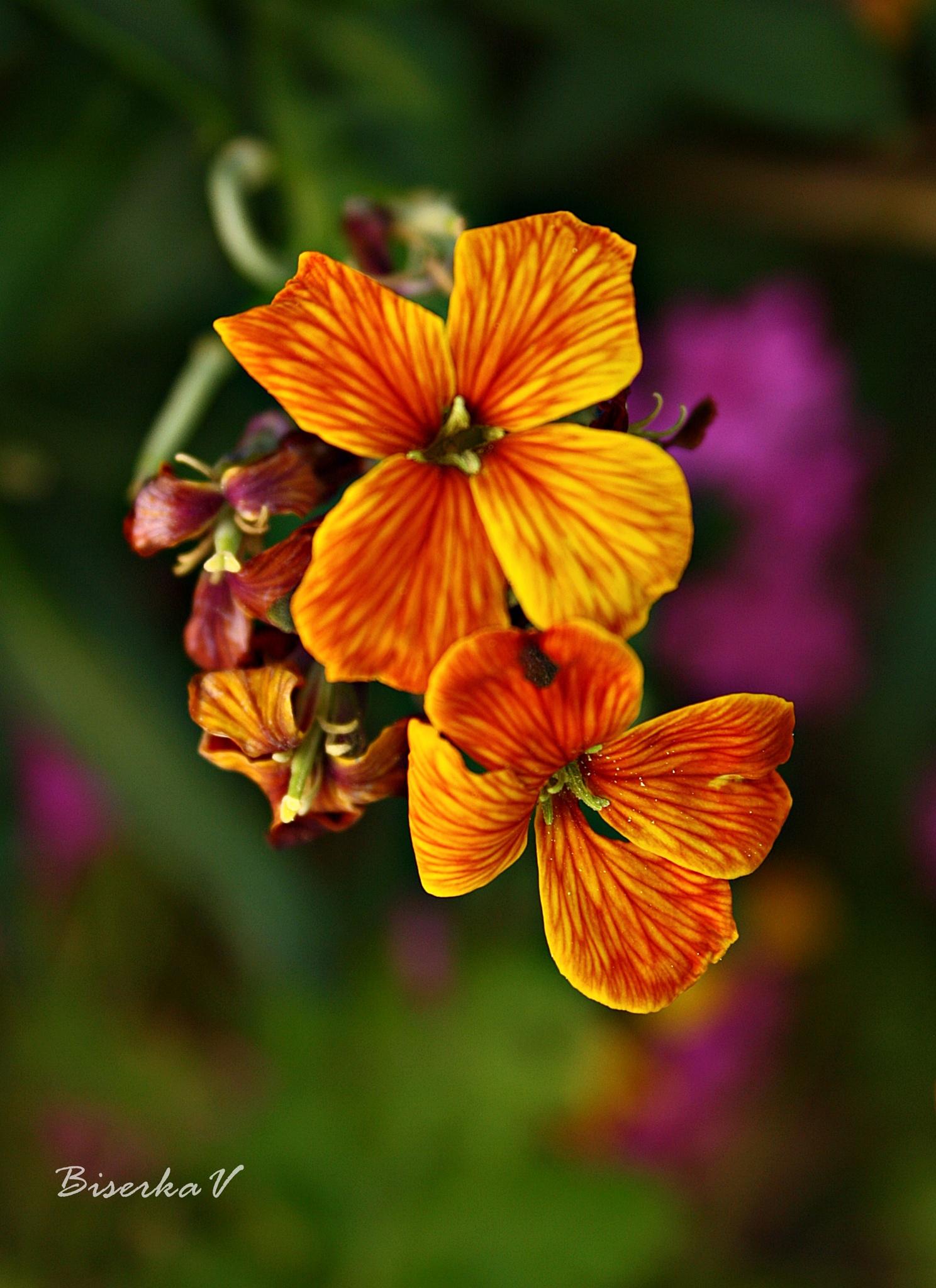 orange by biserkavr