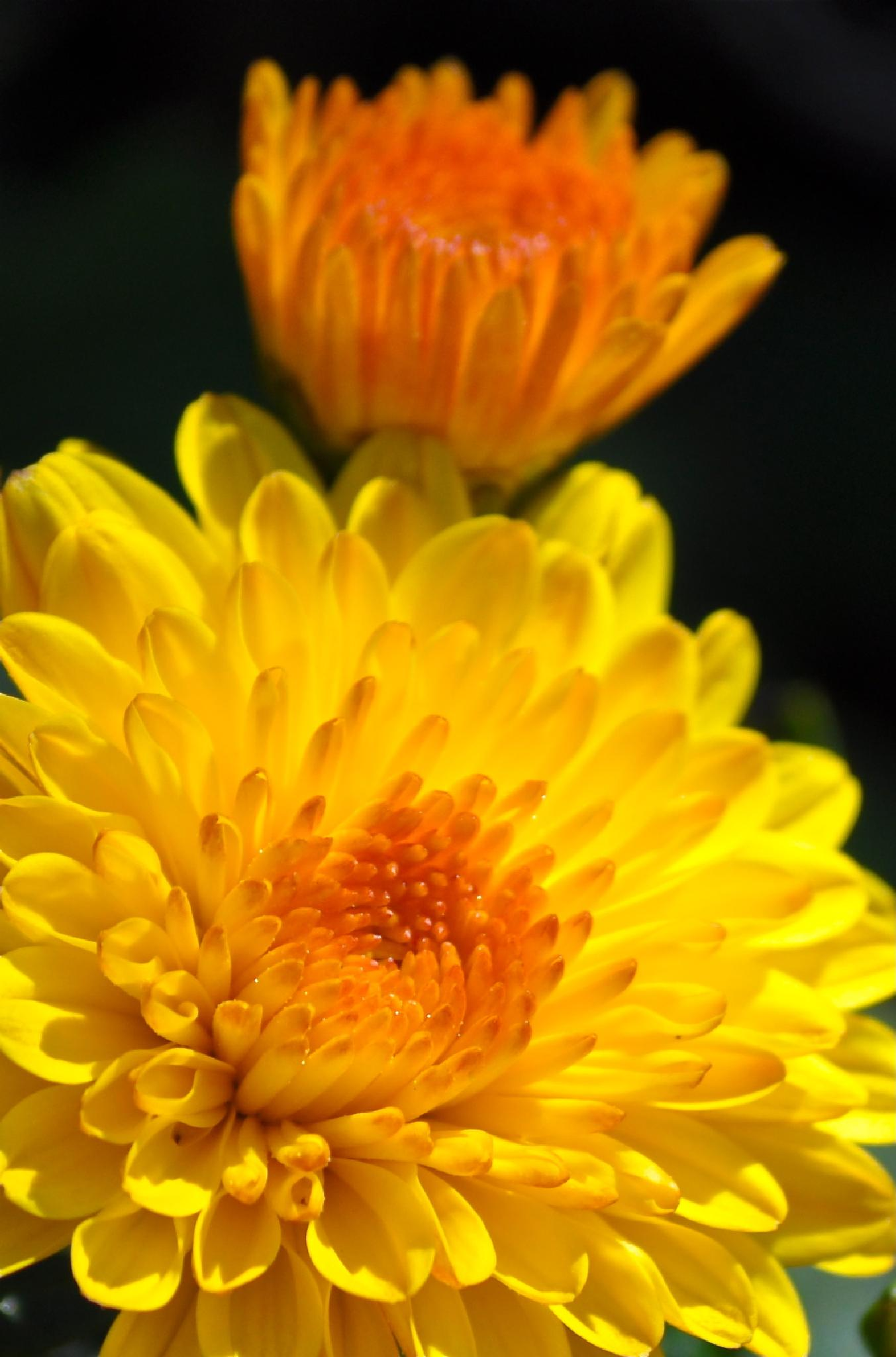 Yellow Mums by peggy.hunt.378