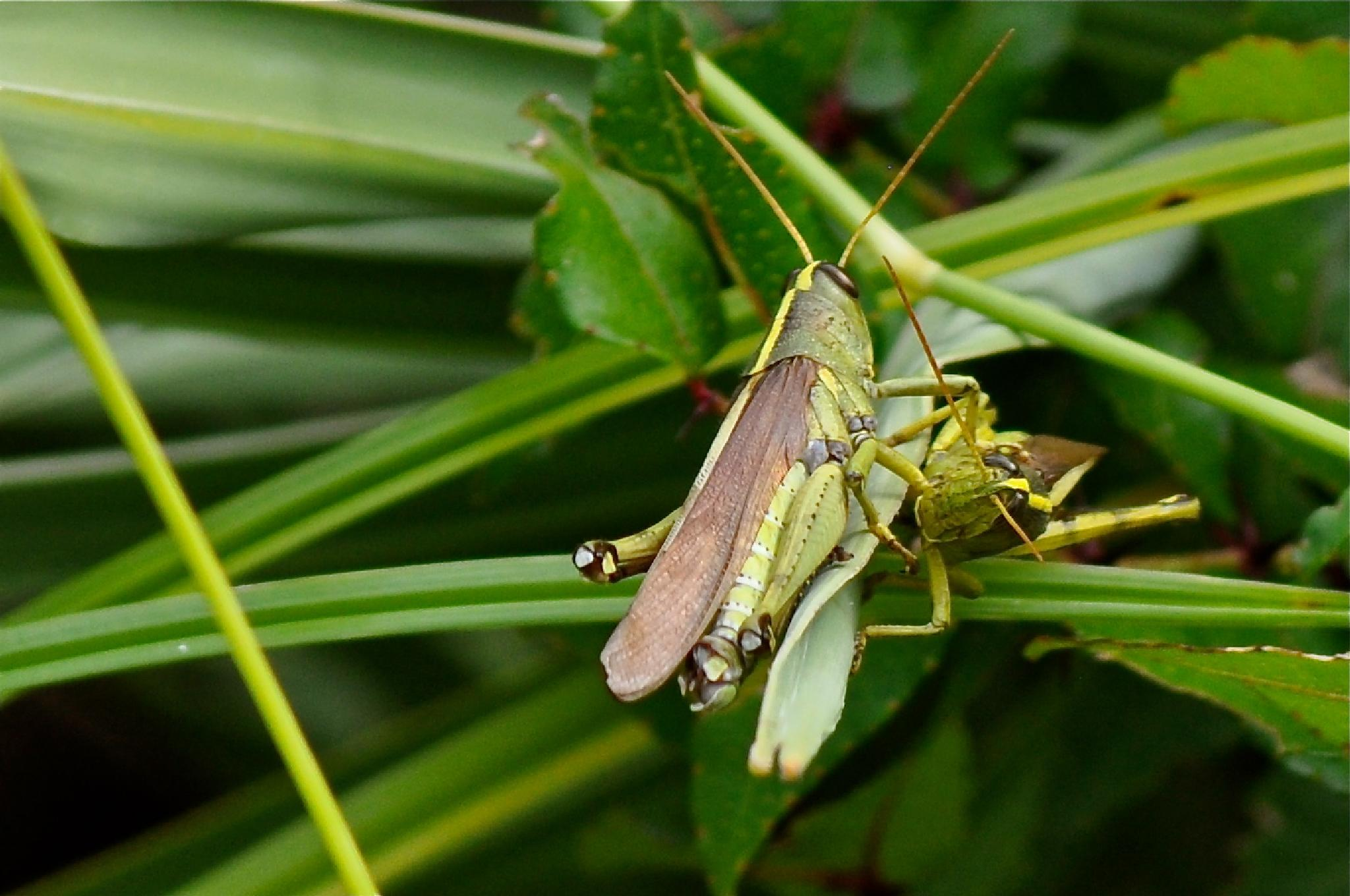 Pair of Locusts by peggy.hunt.378