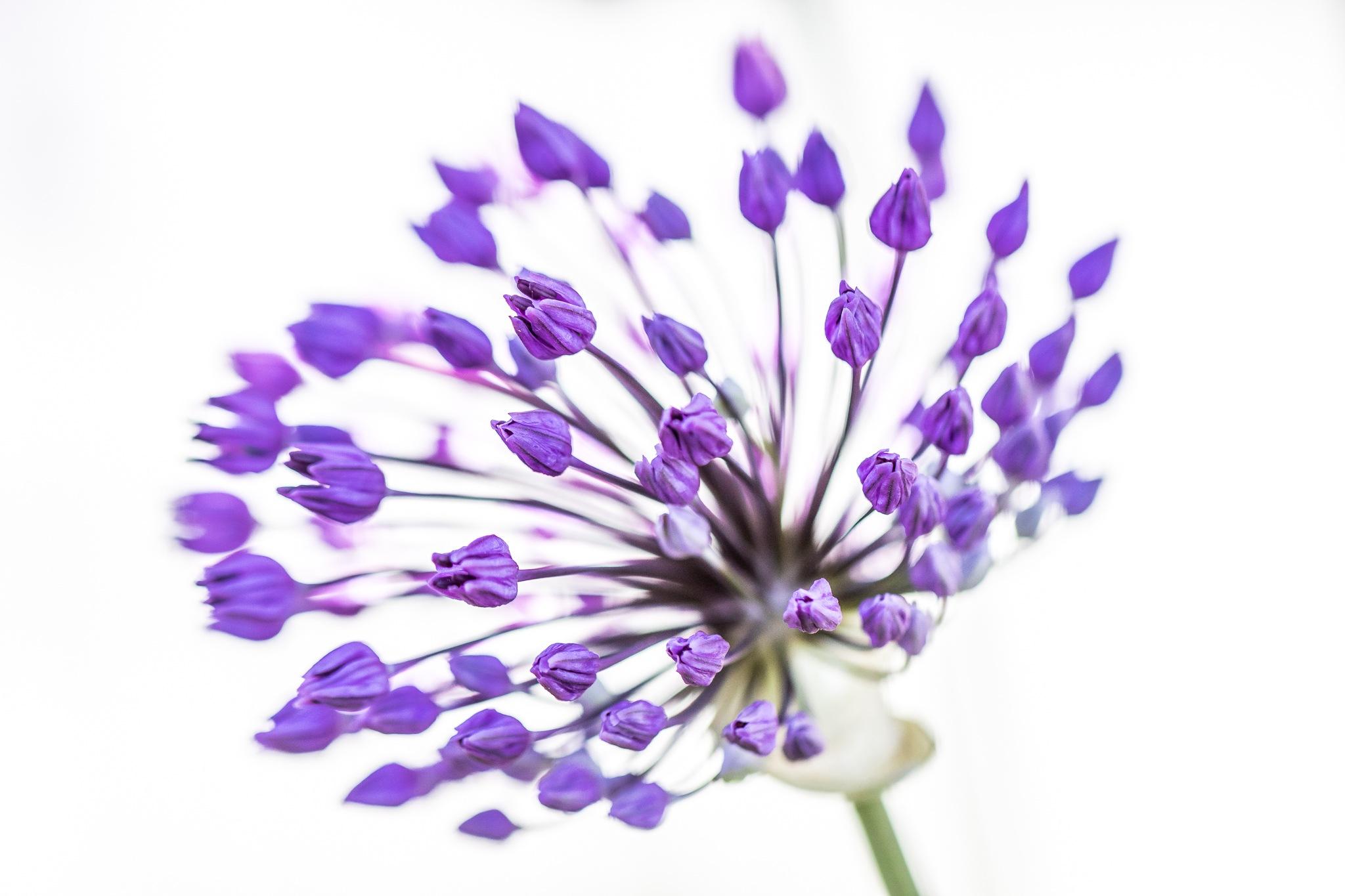 Photo in Macro #allum #flower #plant