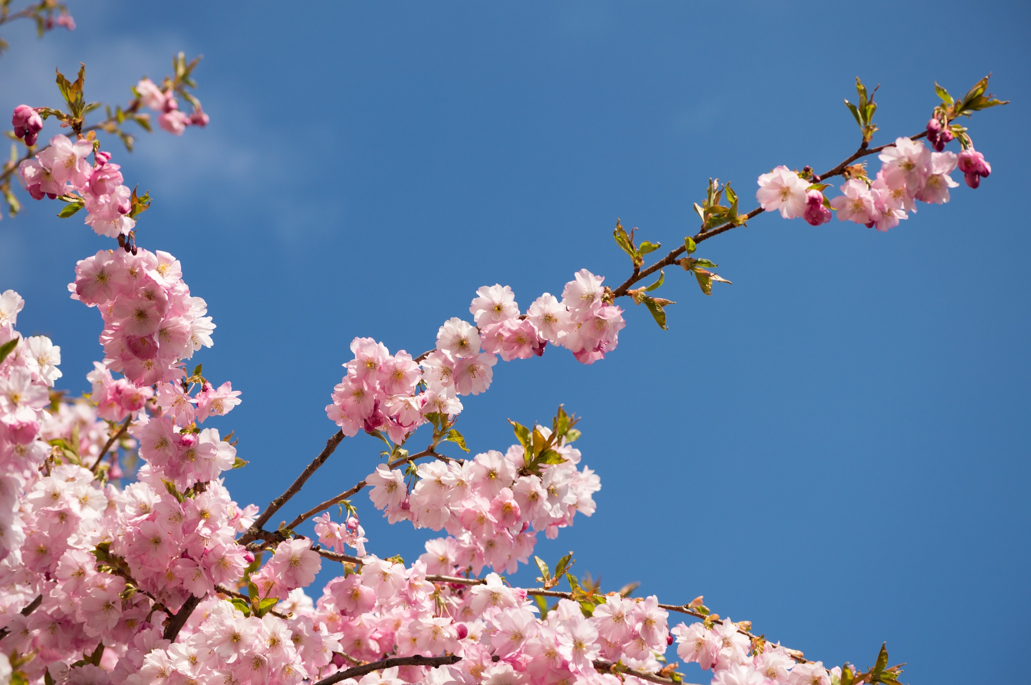 Cherry blossom and blue sky by Micke Seise