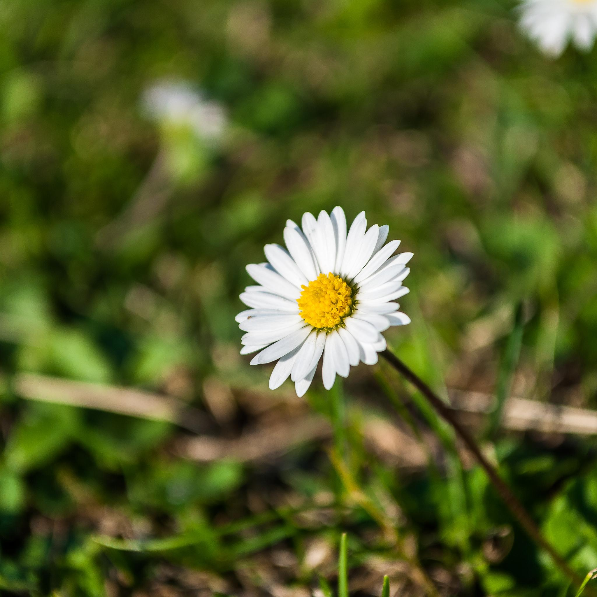 Daisy (Bellis) by Micke Seise