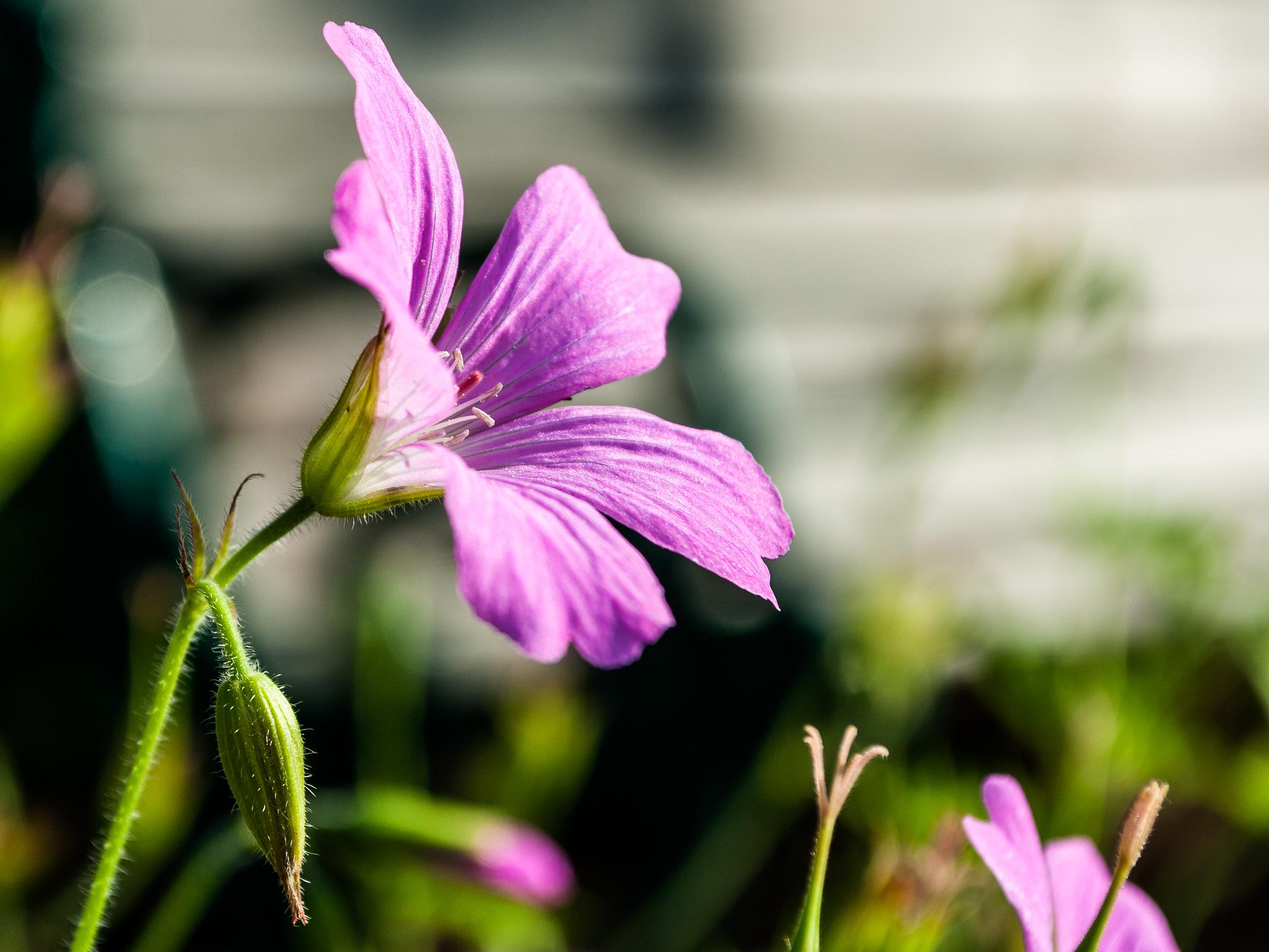 Light purple flower by Micke Seise