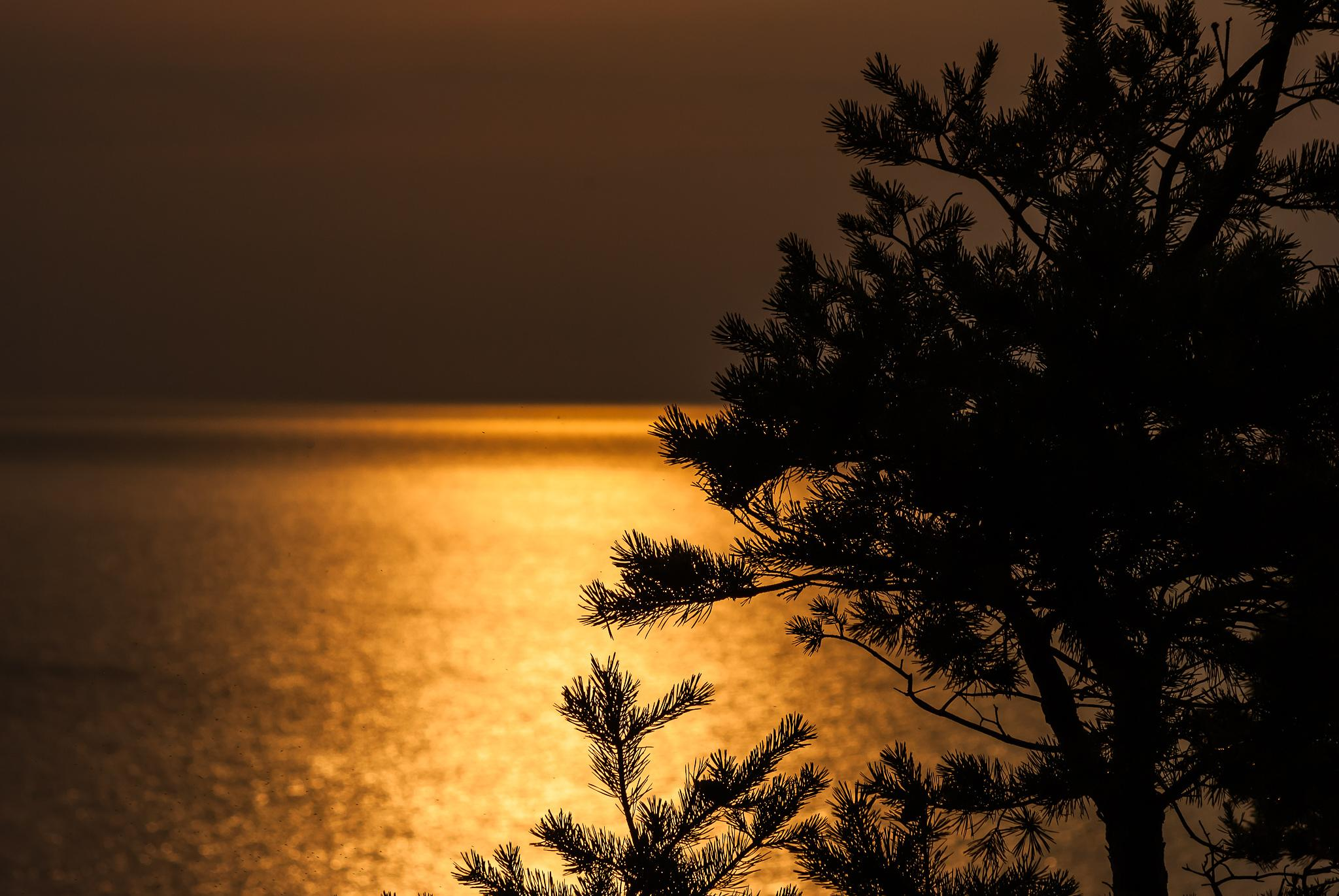 Pine tree in the sunset by Micke Seise