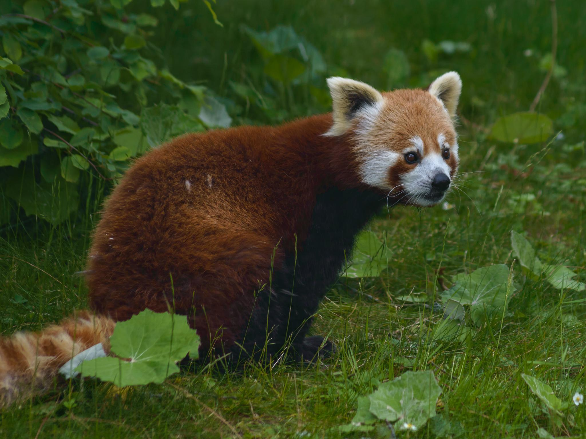 Red Panda by Micke Seise
