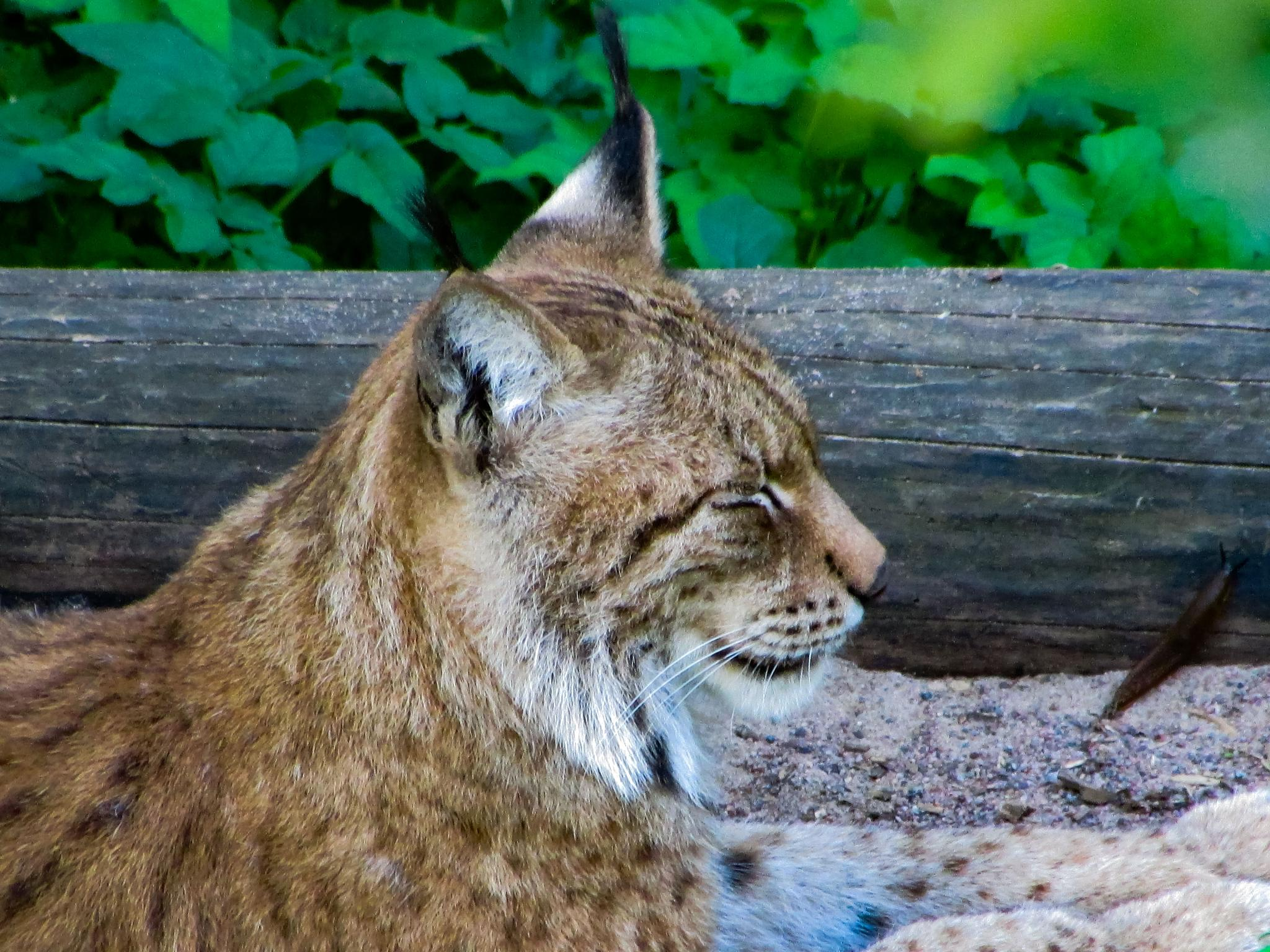 Photo in Animal #lynx #canon #seise