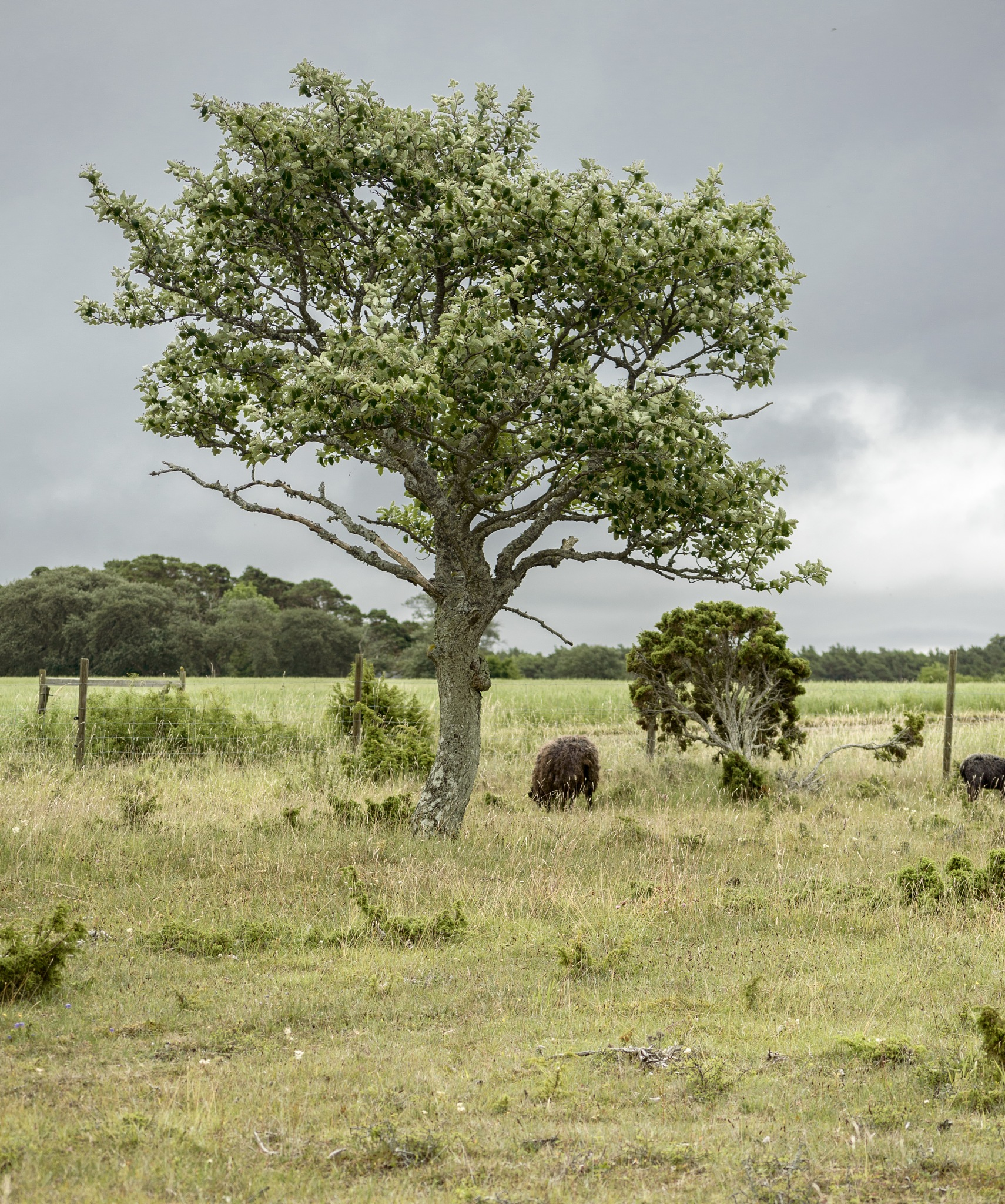 Tree and sheep by Micke Seise