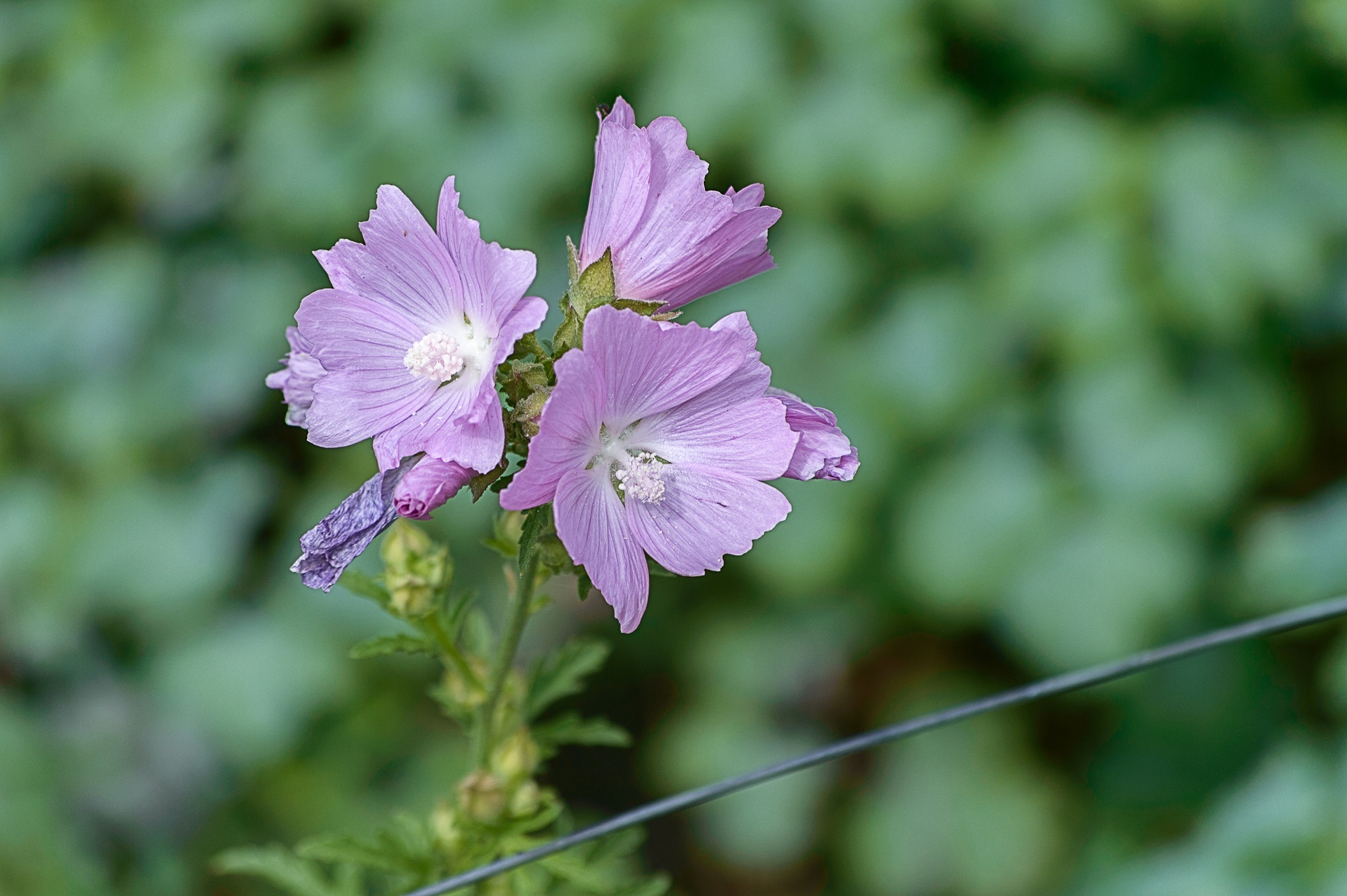 Purple flower by Micke Seise