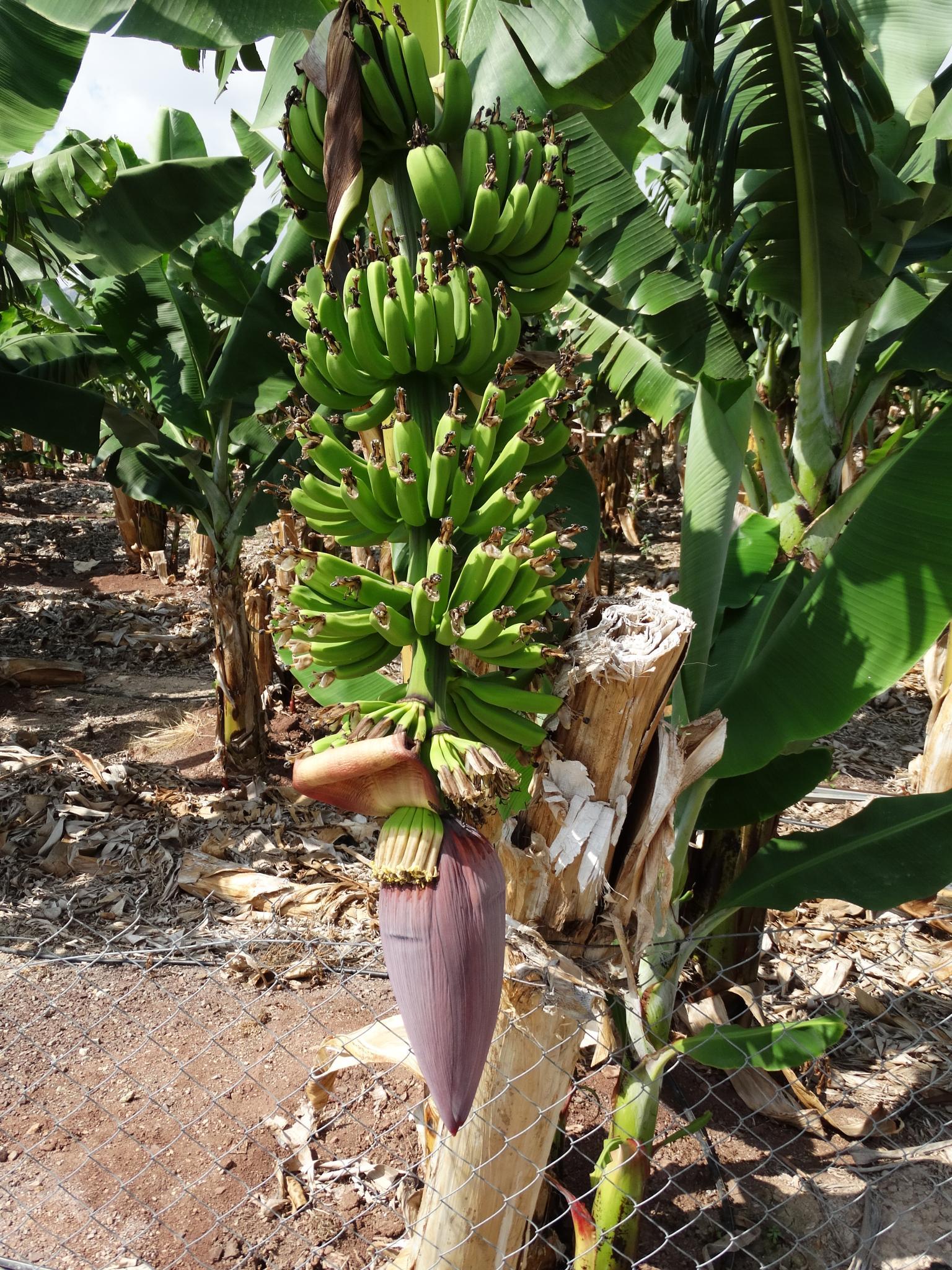 Banana Tree - Cyprus by tracy.watts.7
