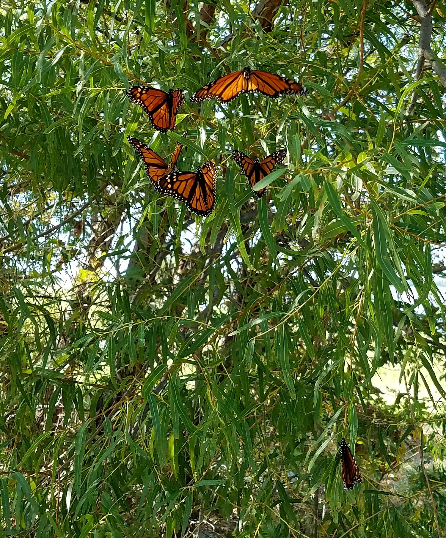 More Monarchs  by ramie.poe