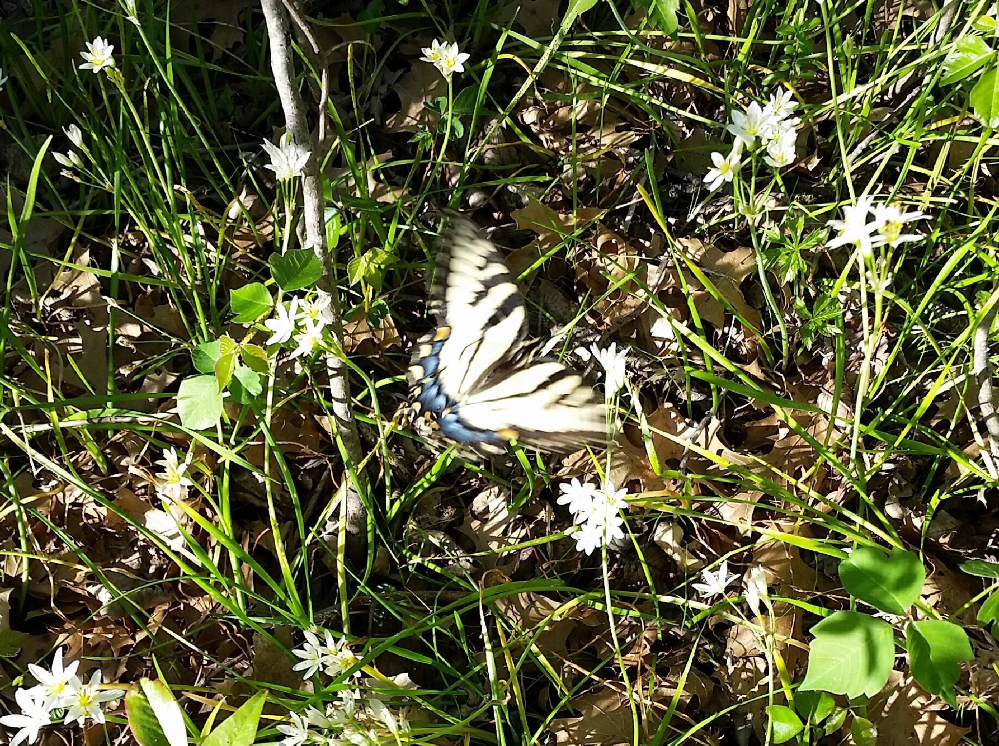 Swallowtail butterfly  by ramie.poe