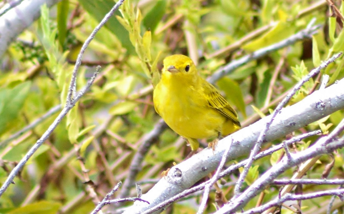 Yellow Warbler by jamie.dorton