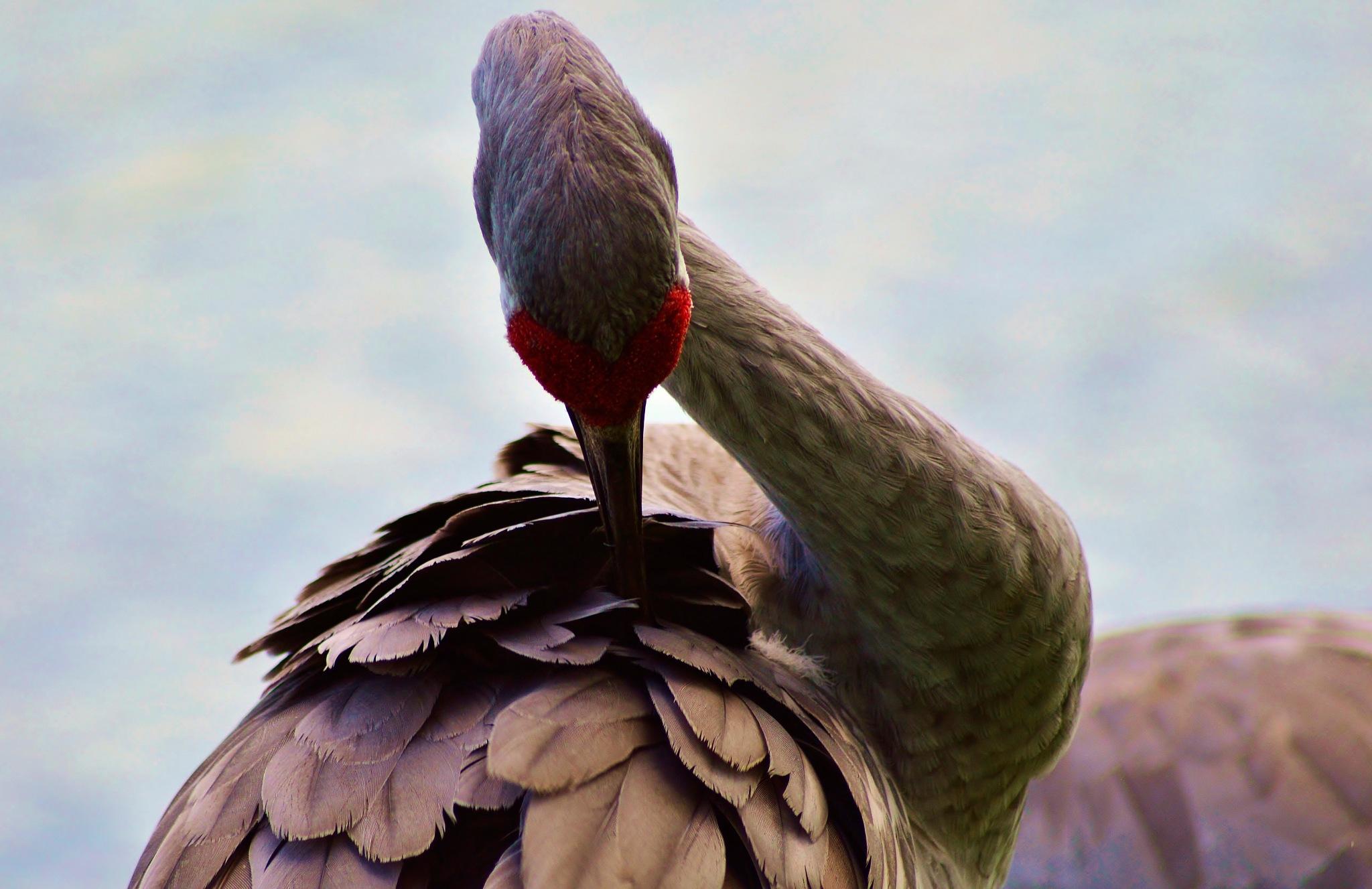 Sand Hill Crane-male by jamie.dorton