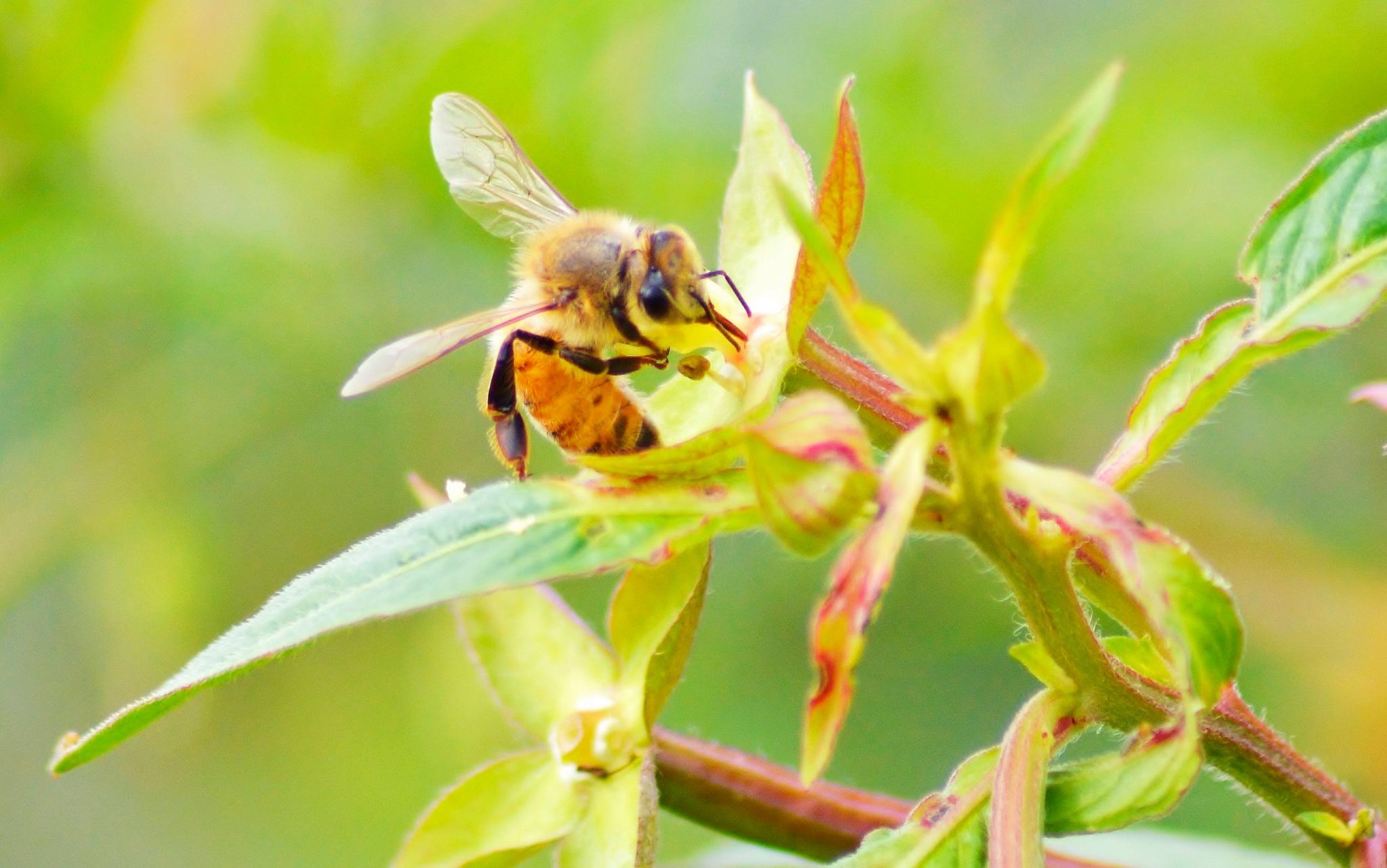 Honeybee by jamie.dorton