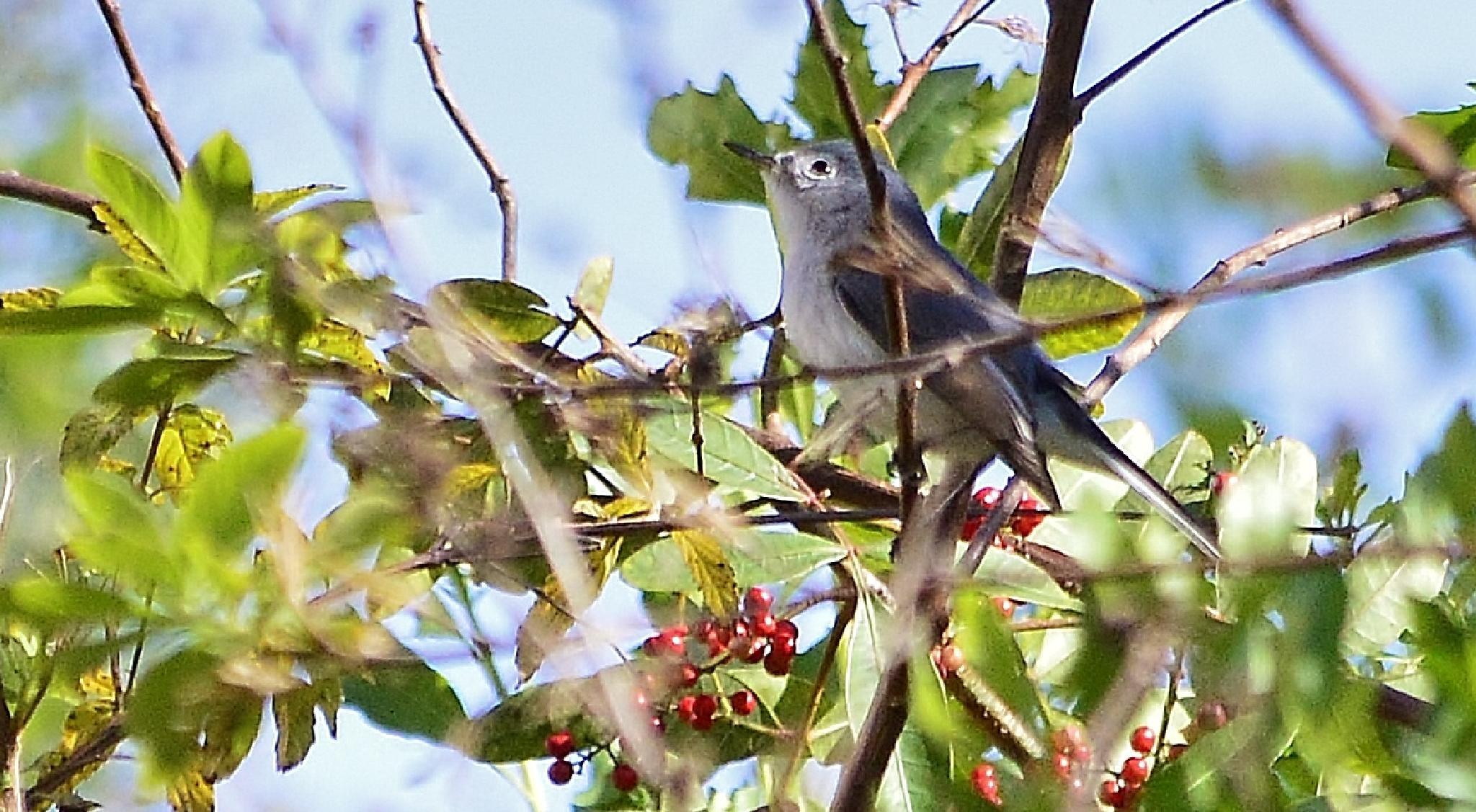 Blue-Gray Gnat Catcher by jamie.dorton
