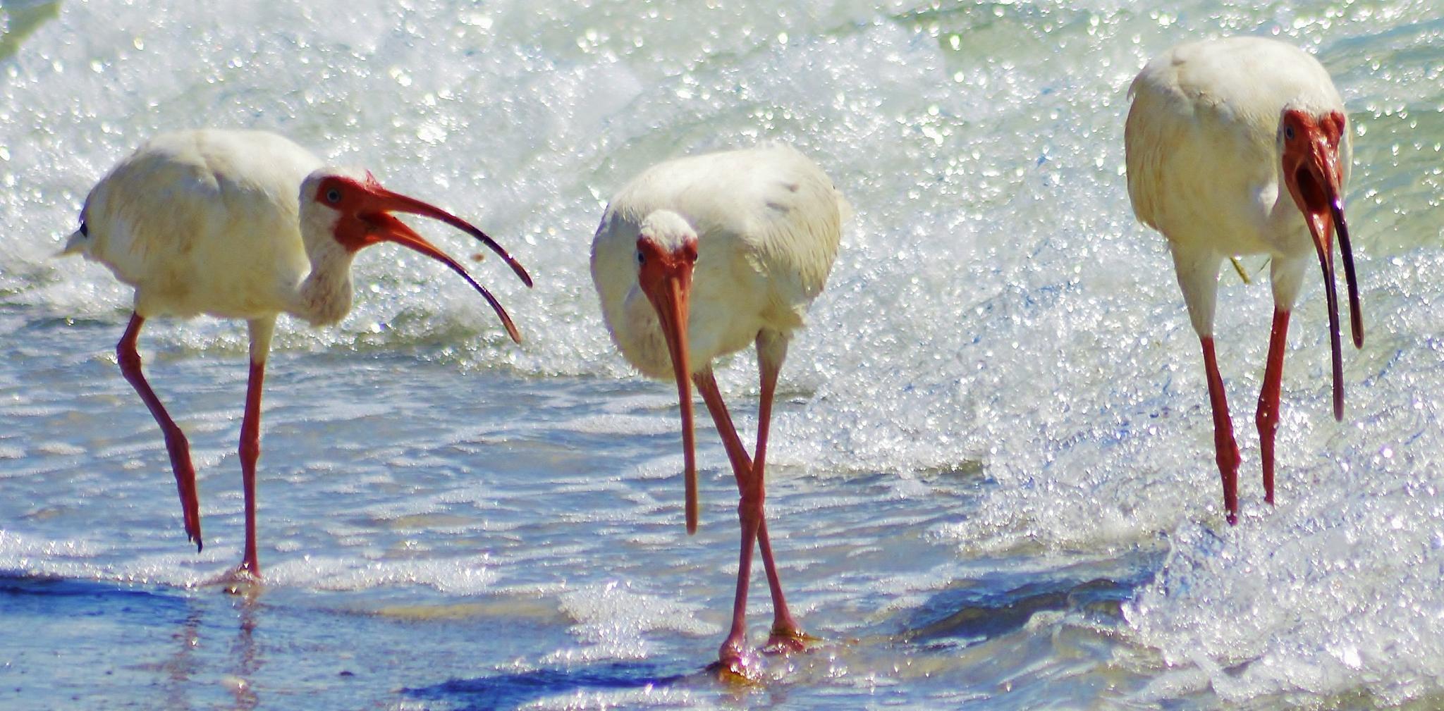 White Ibis. by jamie.dorton
