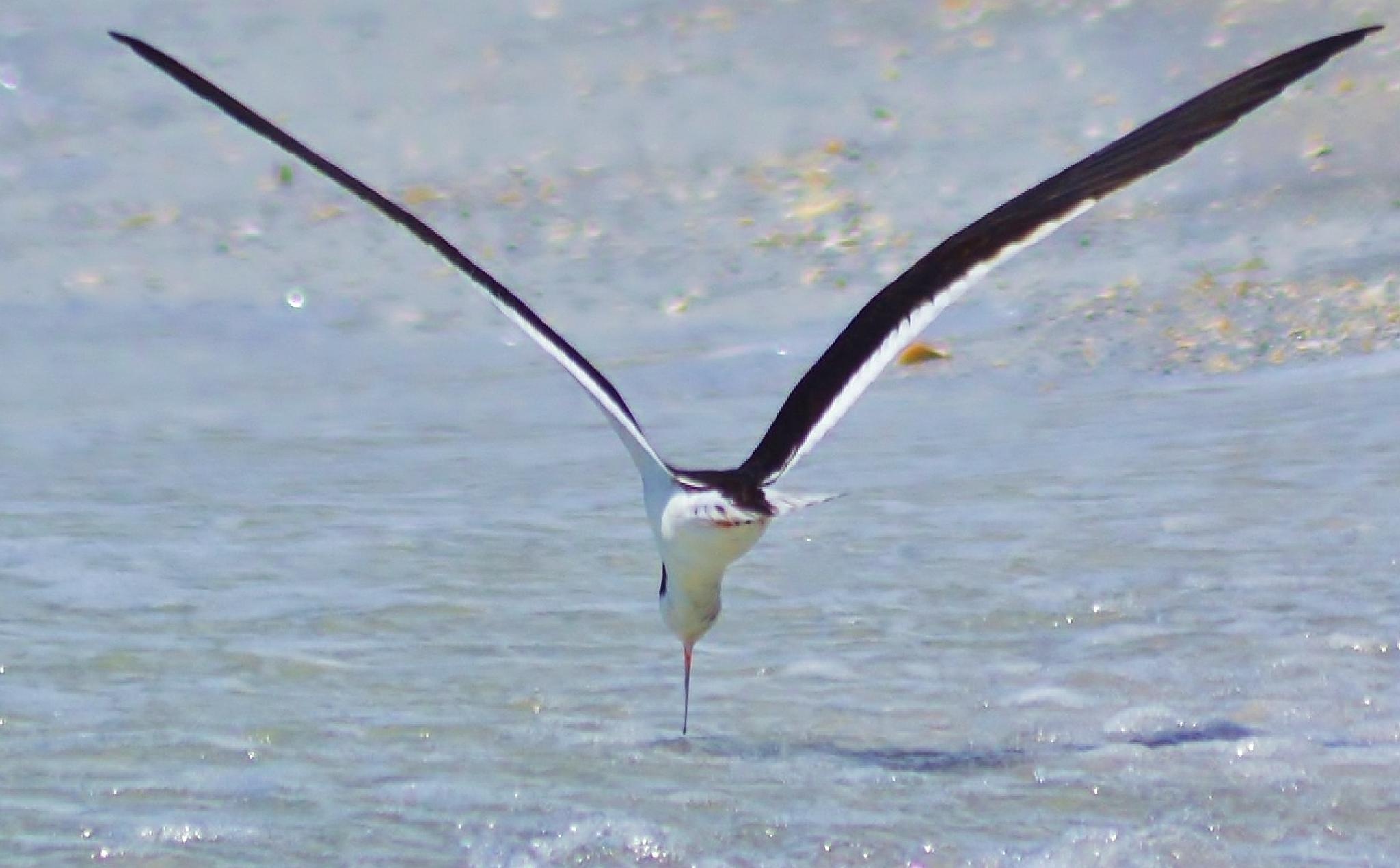 Black Skimmer: by jamie.dorton