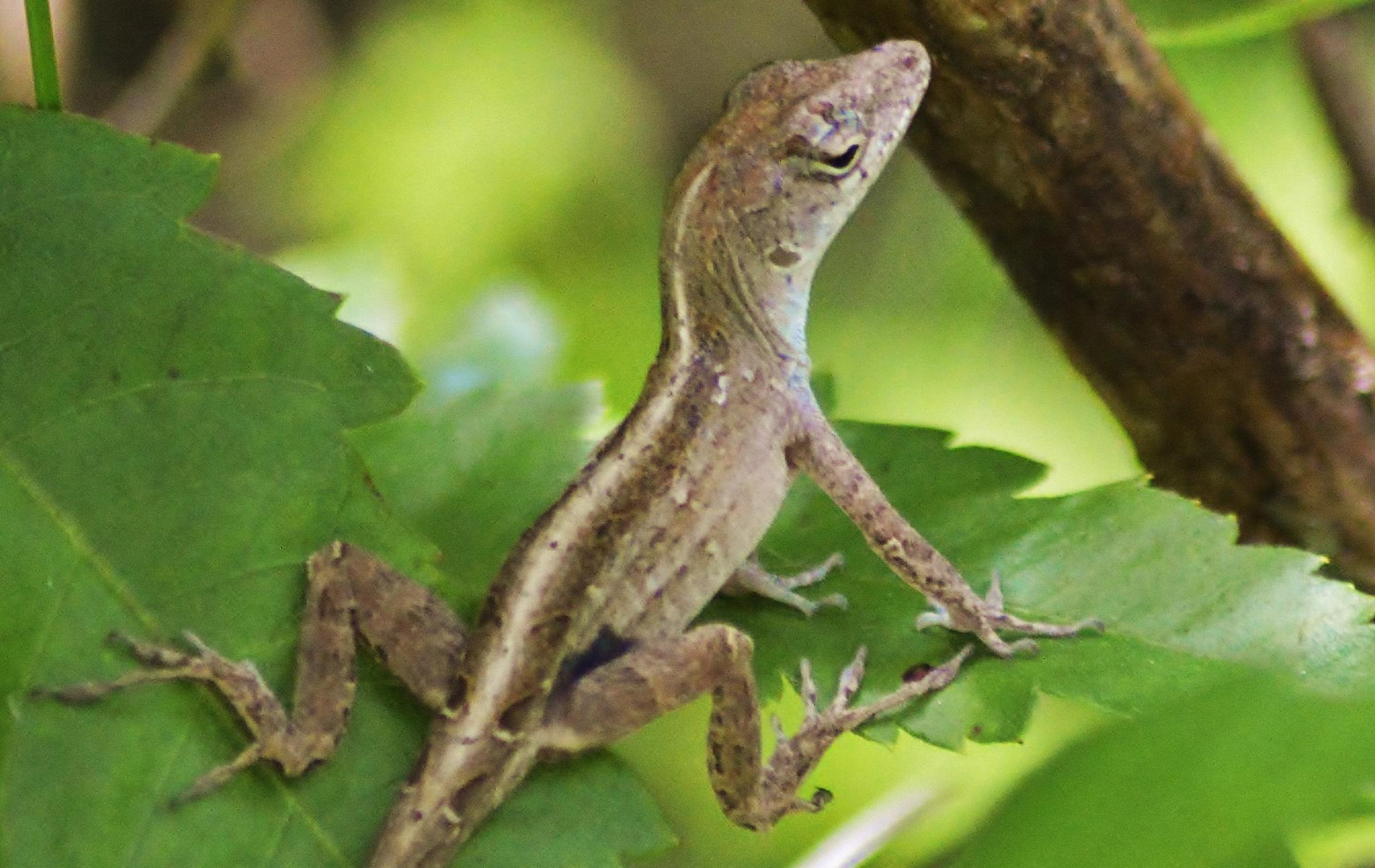Cuban Brown Anole by jamie.dorton