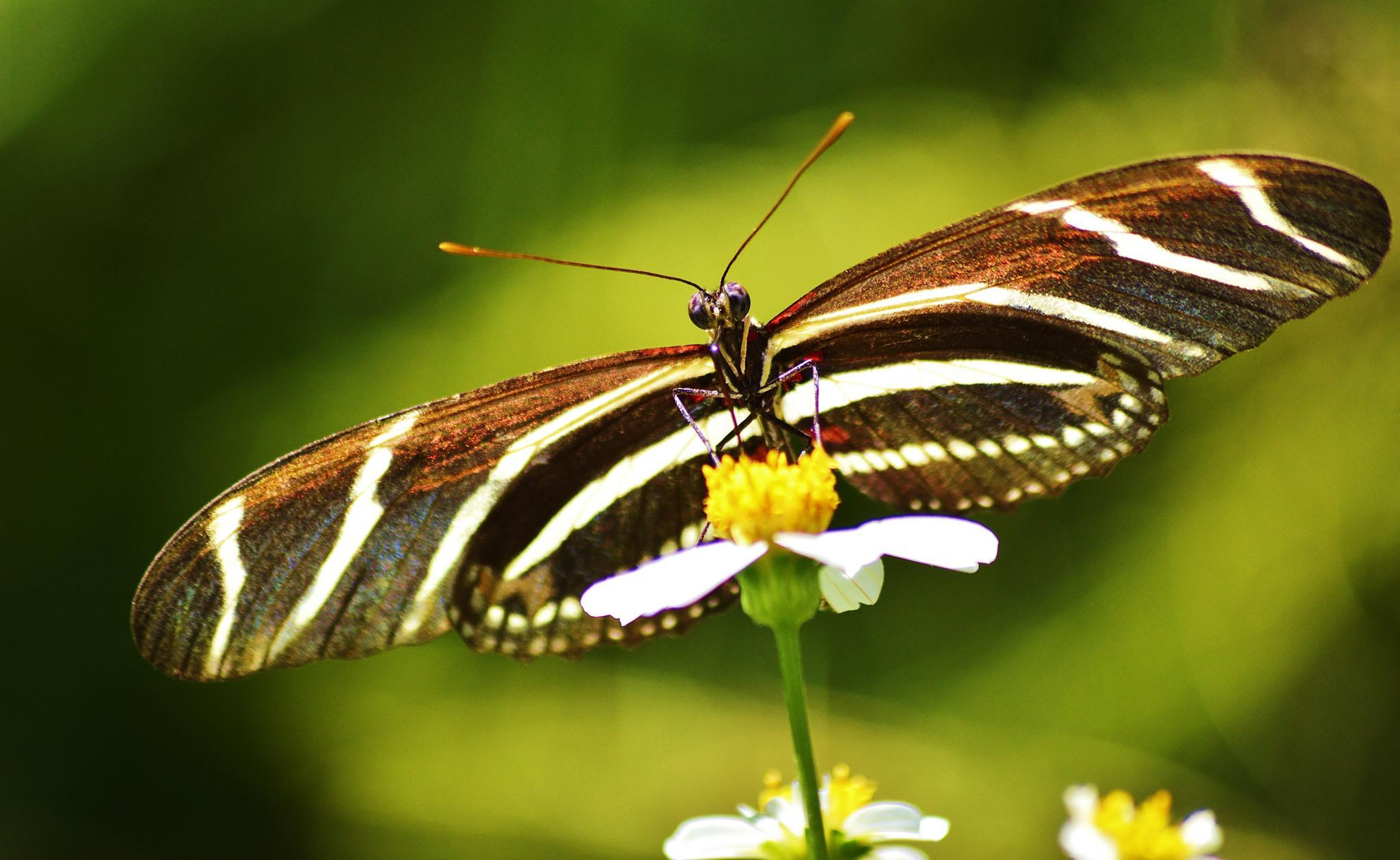 Zebra Longwing Butterfly by jamie.dorton