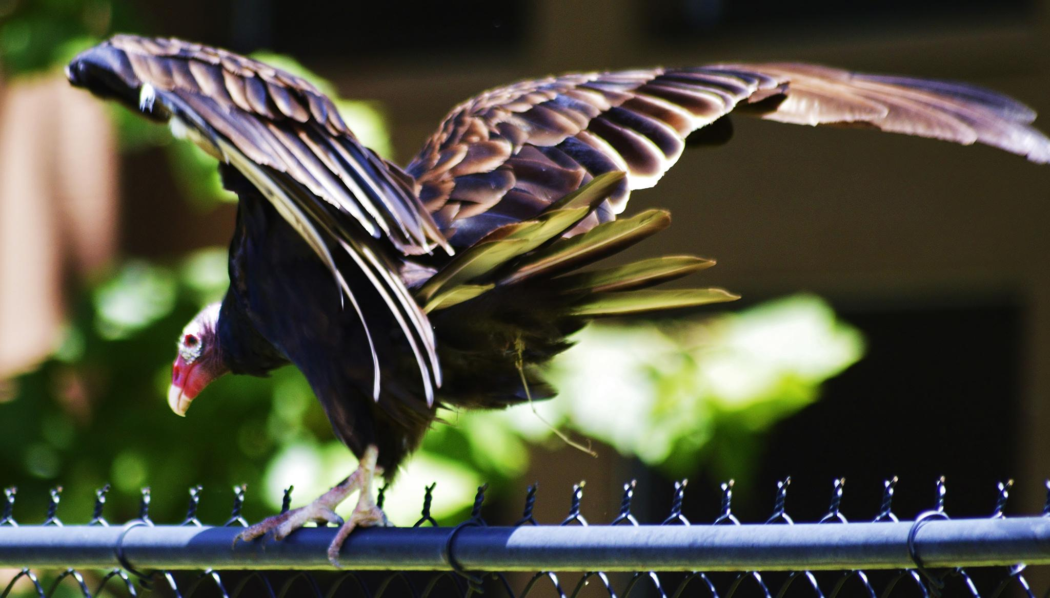 Turkey Vulture by jamie.dorton