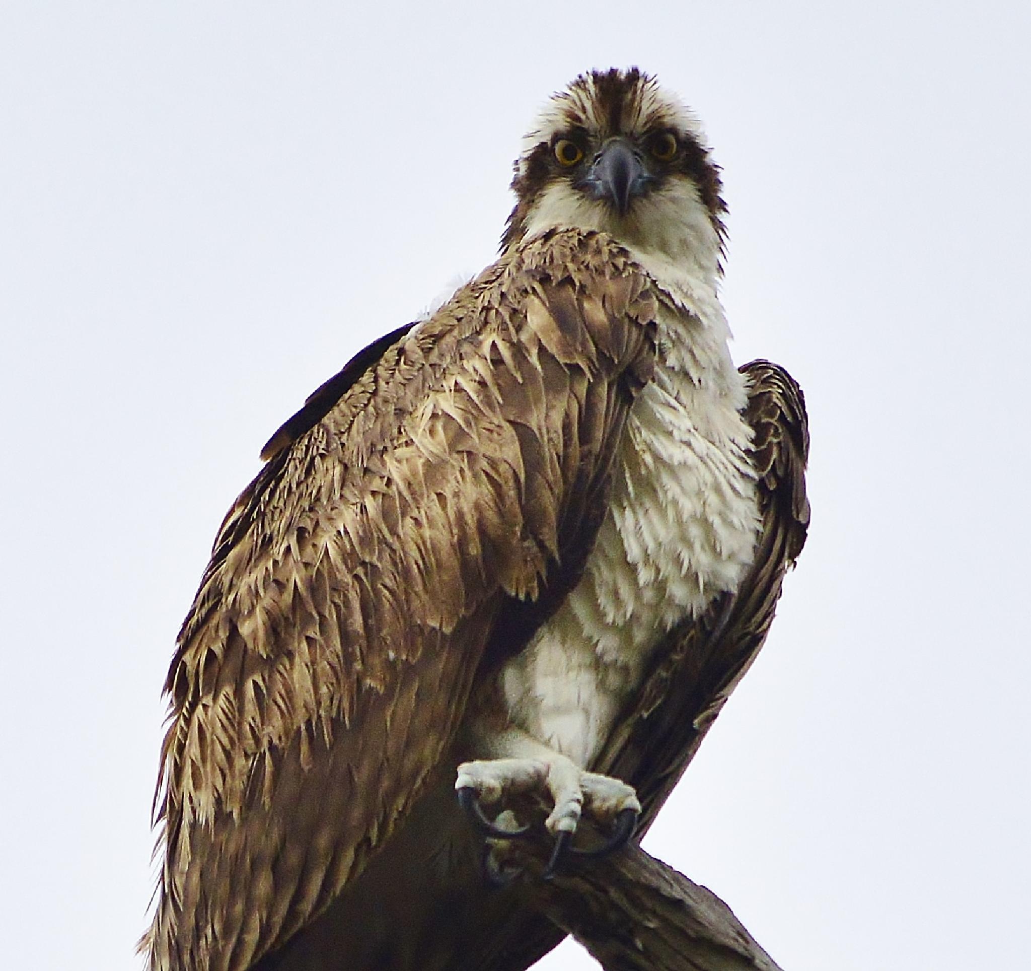 Osprey by jamie.dorton