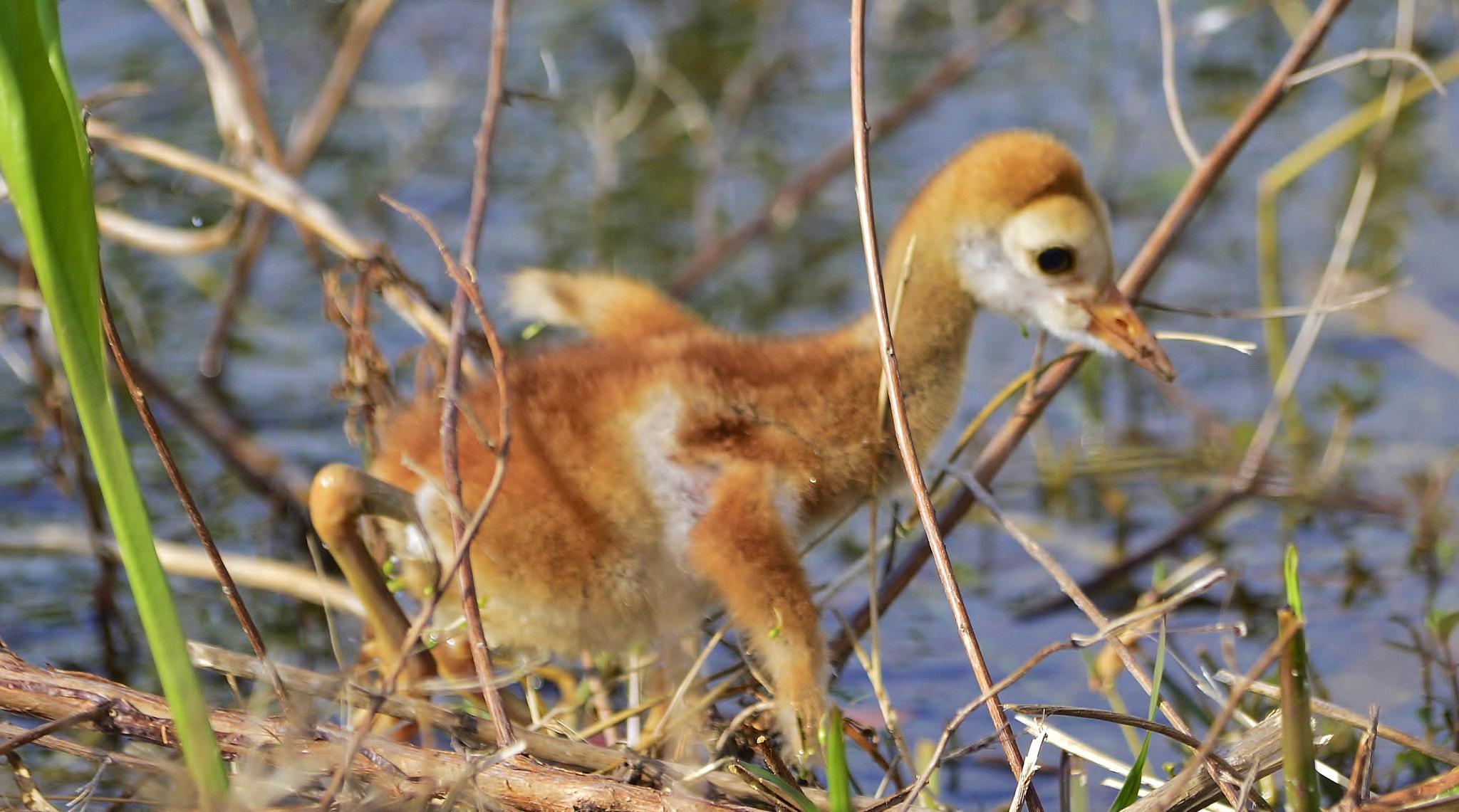 Baby Sandhill Crane Stumbling a Little by jamie.dorton