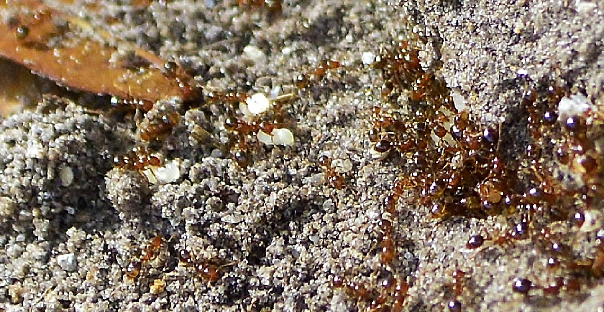 Fire Ants by jamie.dorton