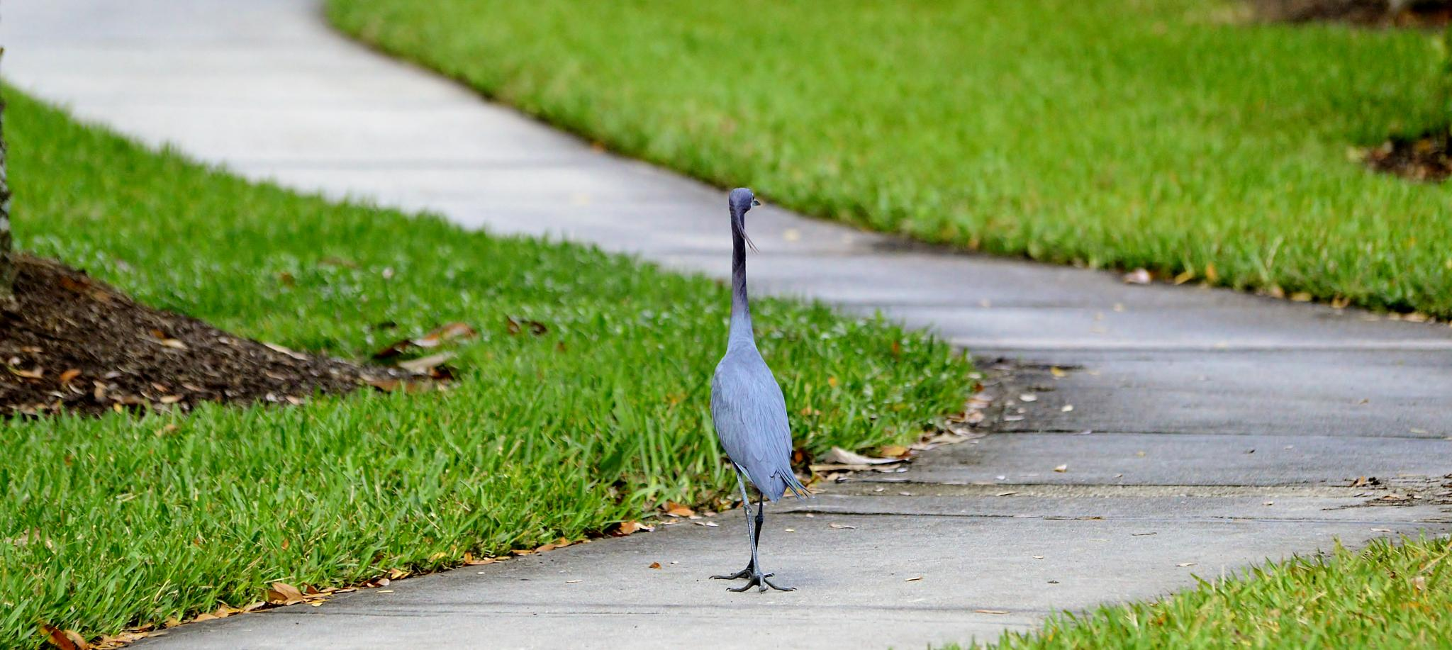Little Blue Heron, Hunting for Anole Lizards  by jamie.dorton