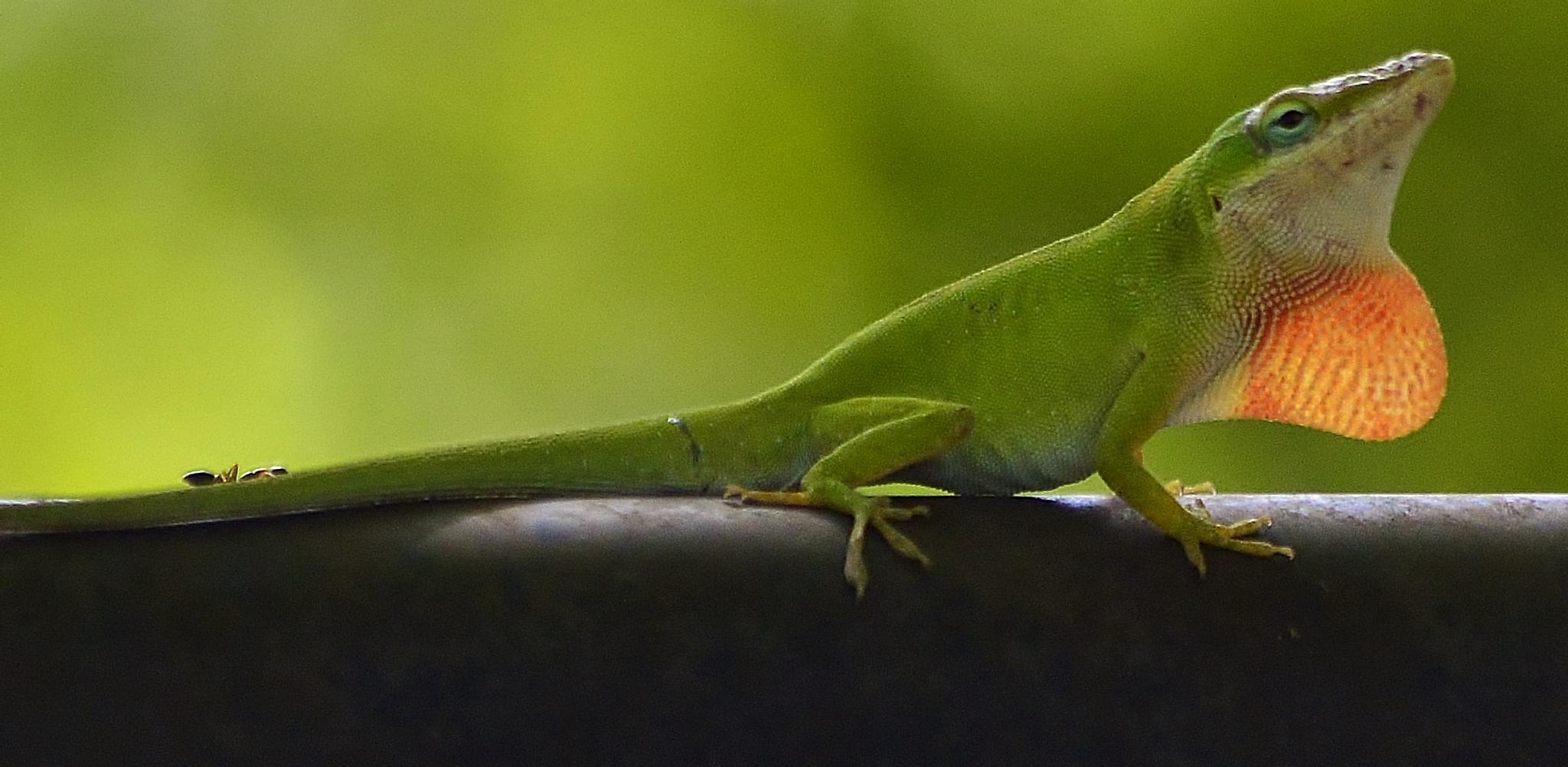 Carolina Green Anole by jamie.dorton