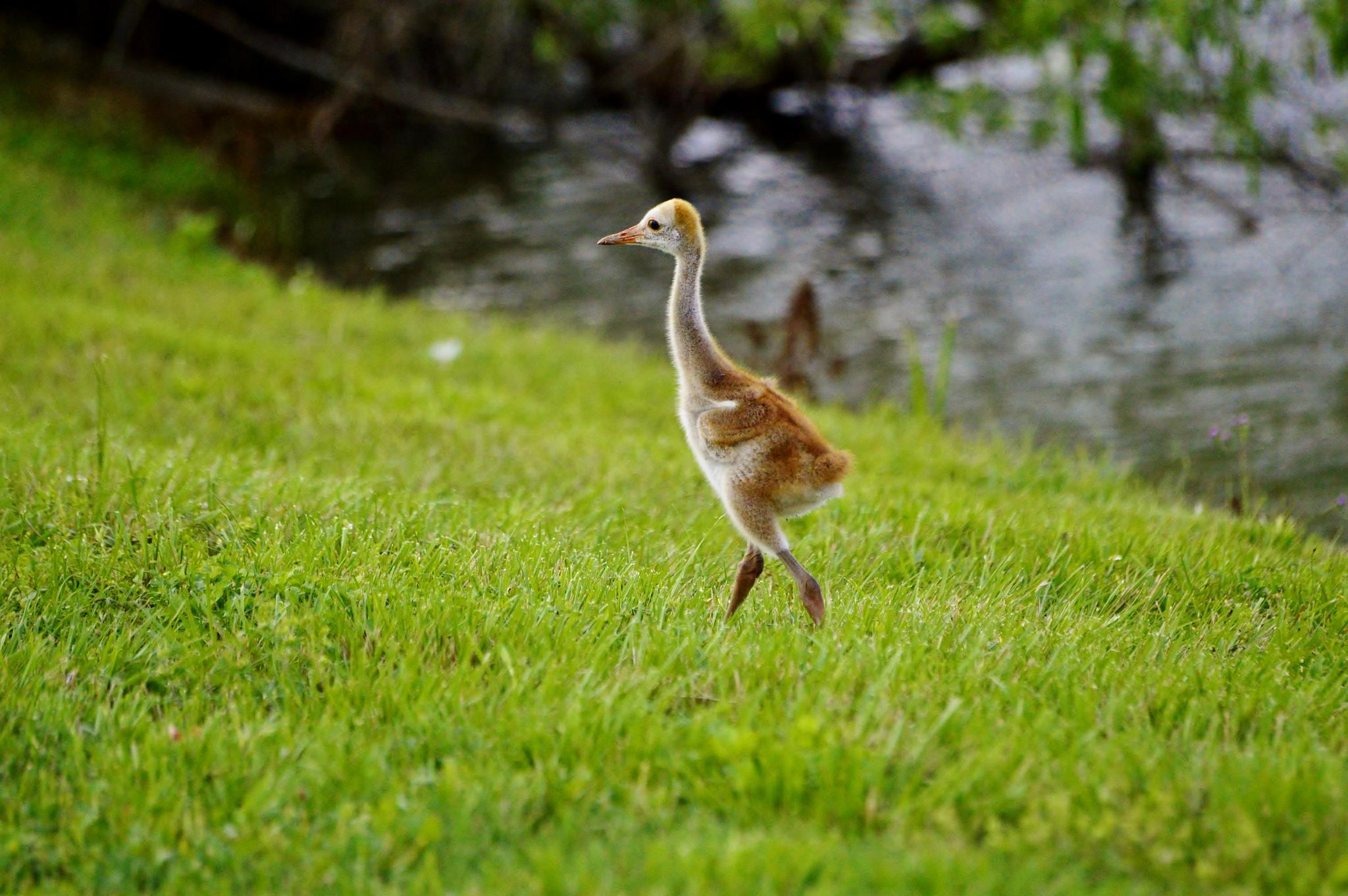 Sand Hill Crane Chick by jamie.dorton
