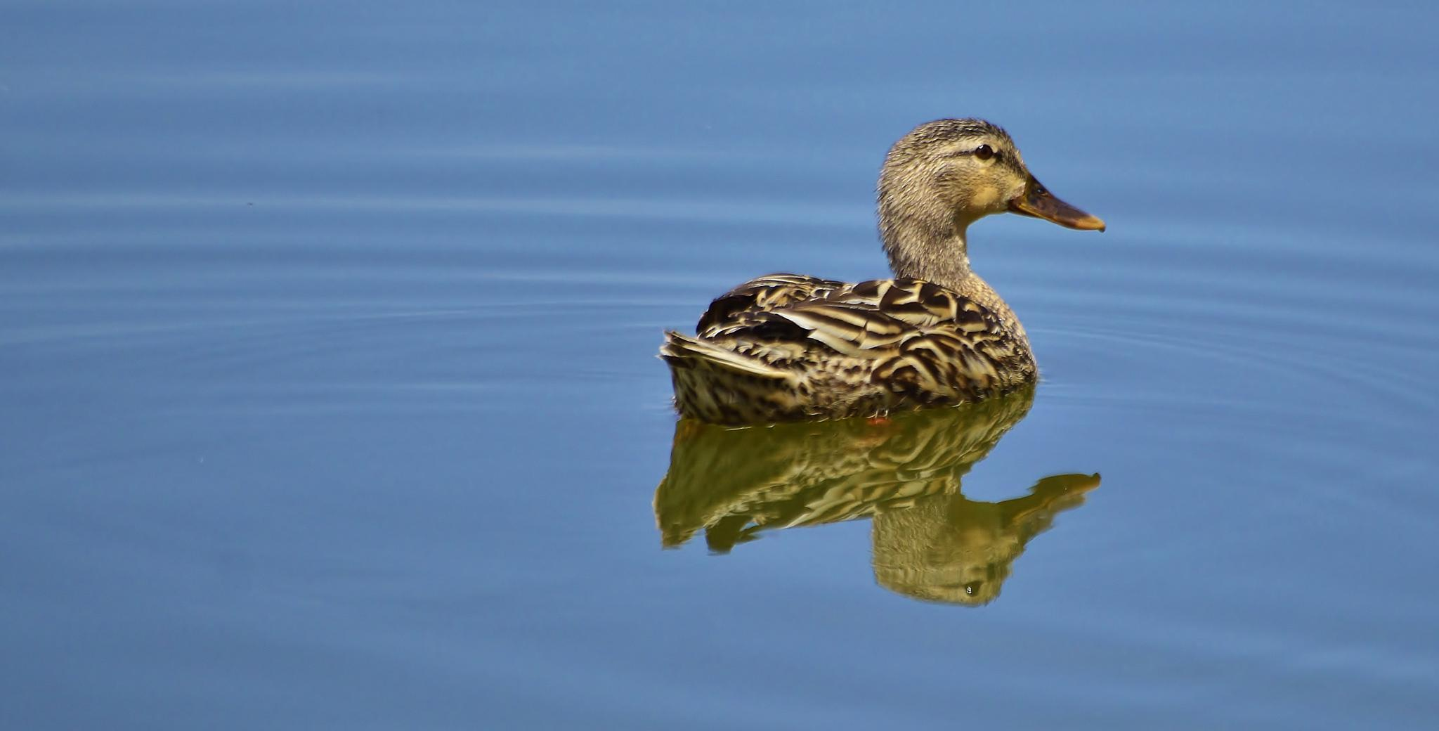 Female Mallard by jamie.dorton