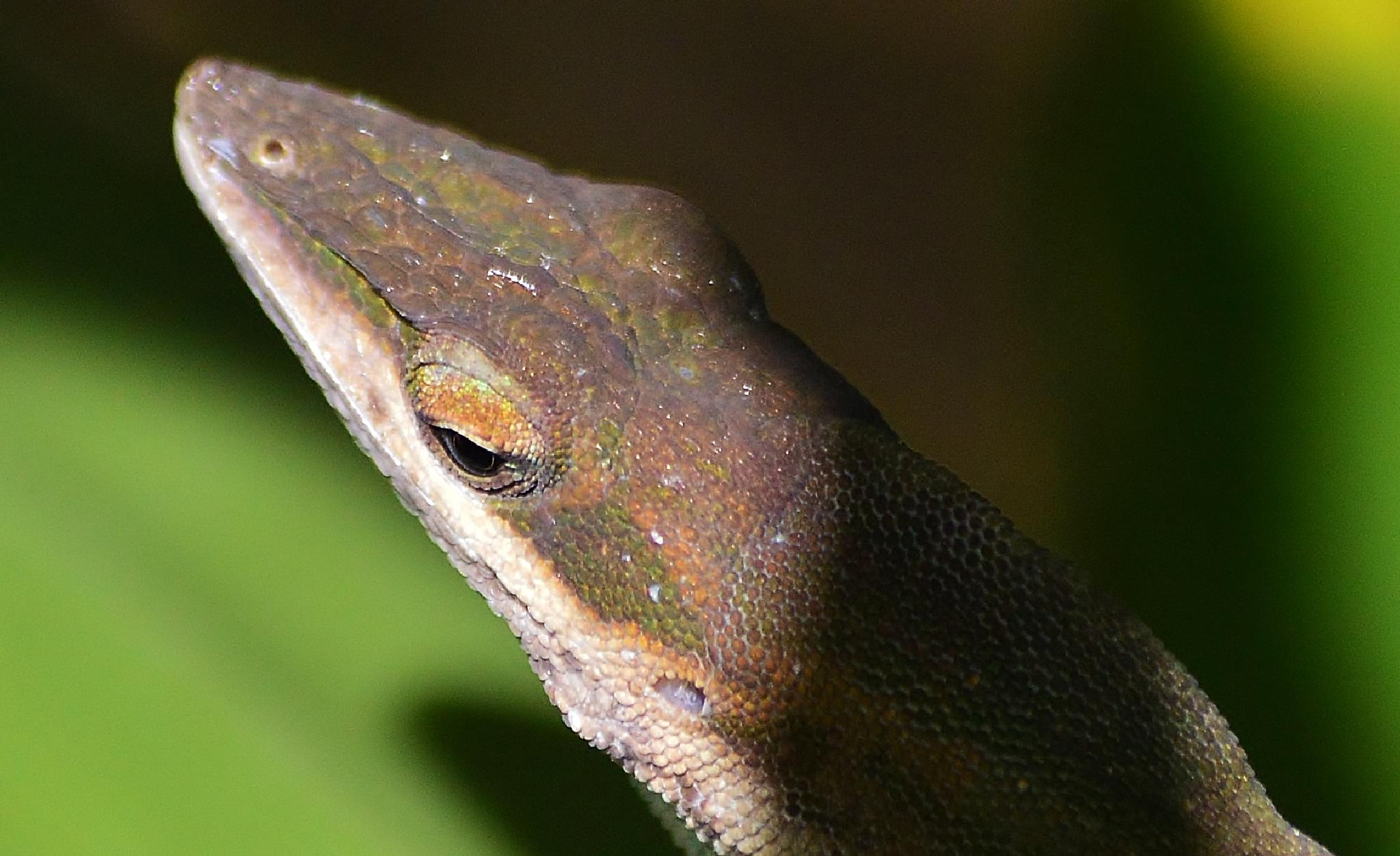 Green Anole doing a beautiful color change for me. by jamie.dorton