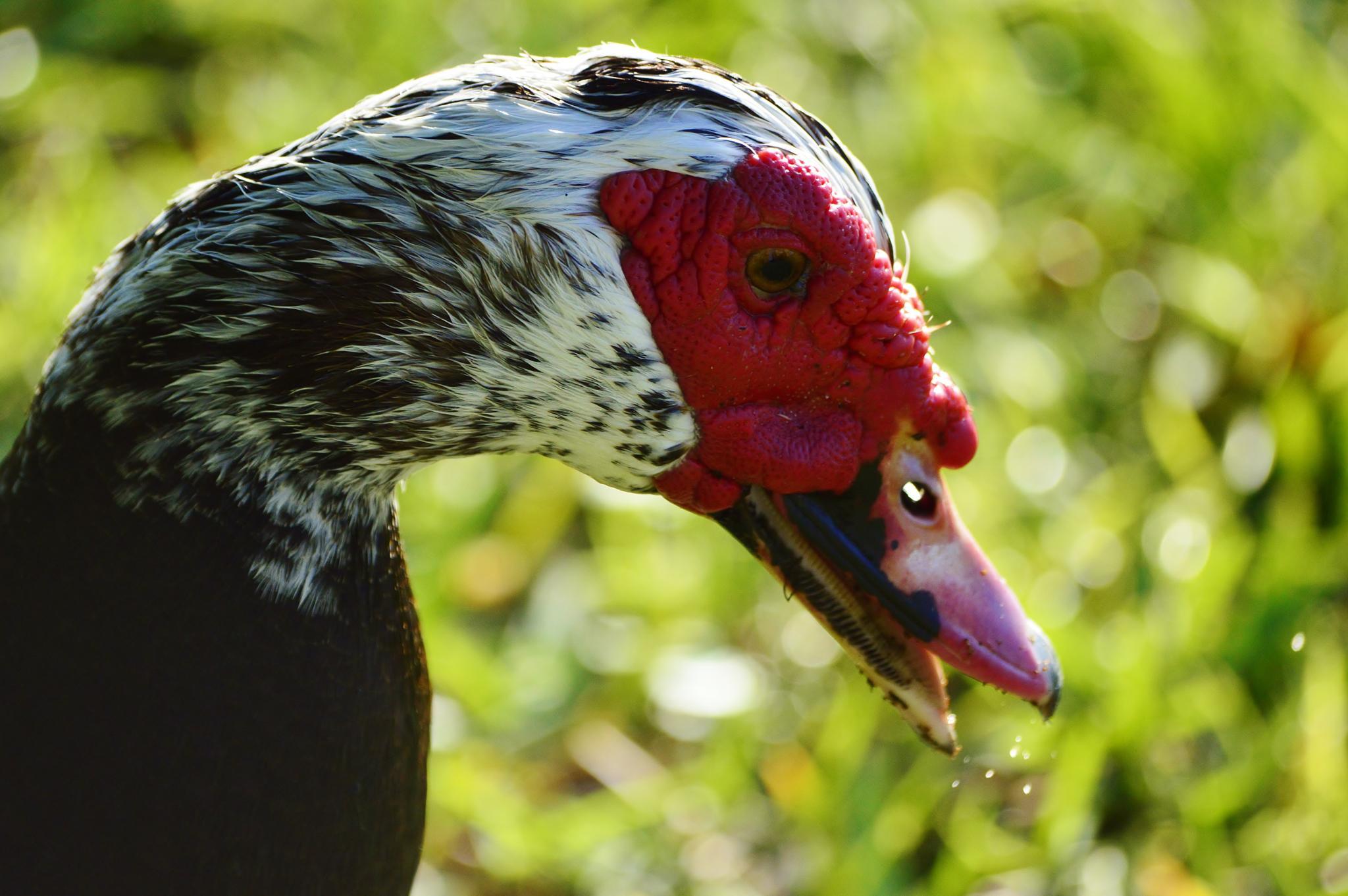 Muscovy Duck by jamie.dorton