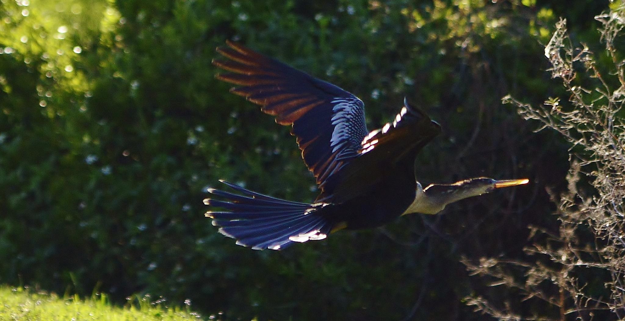 Anhinga (Snake Bird) by jamie.dorton
