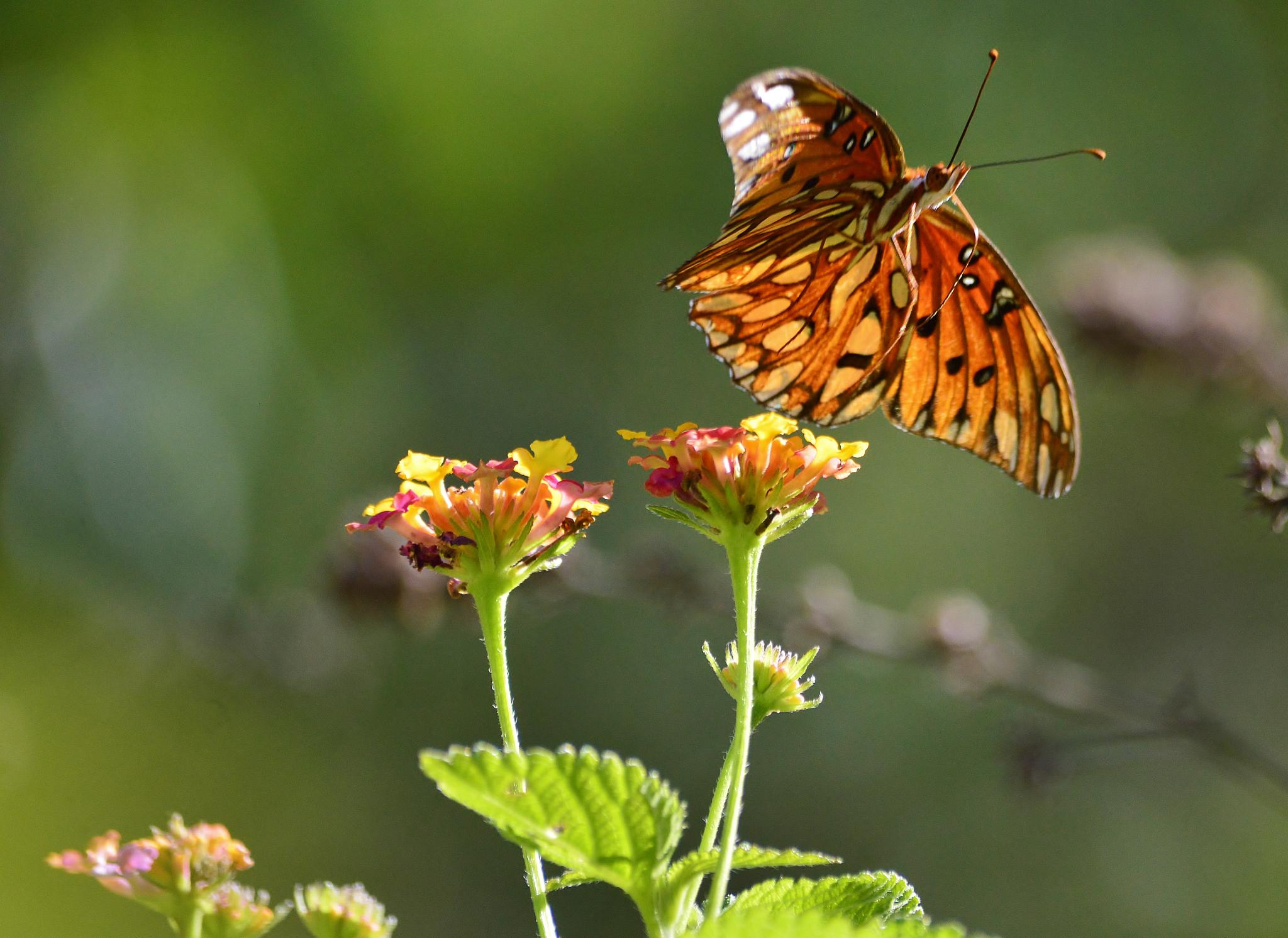 The Gulf Fritillary or Passion Butterfly by jamie.dorton
