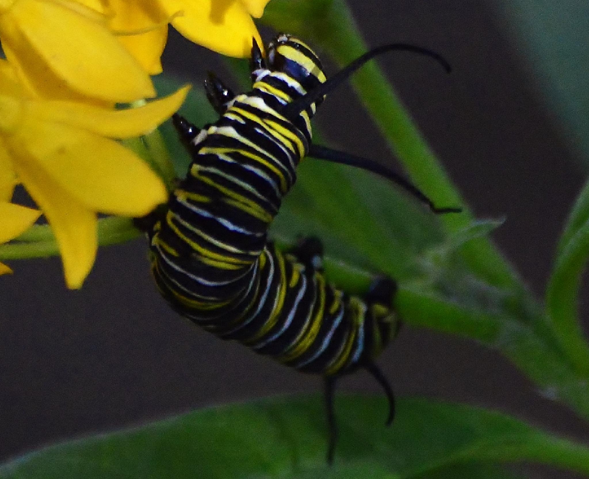 Monarch Caterpillar by jamie.dorton
