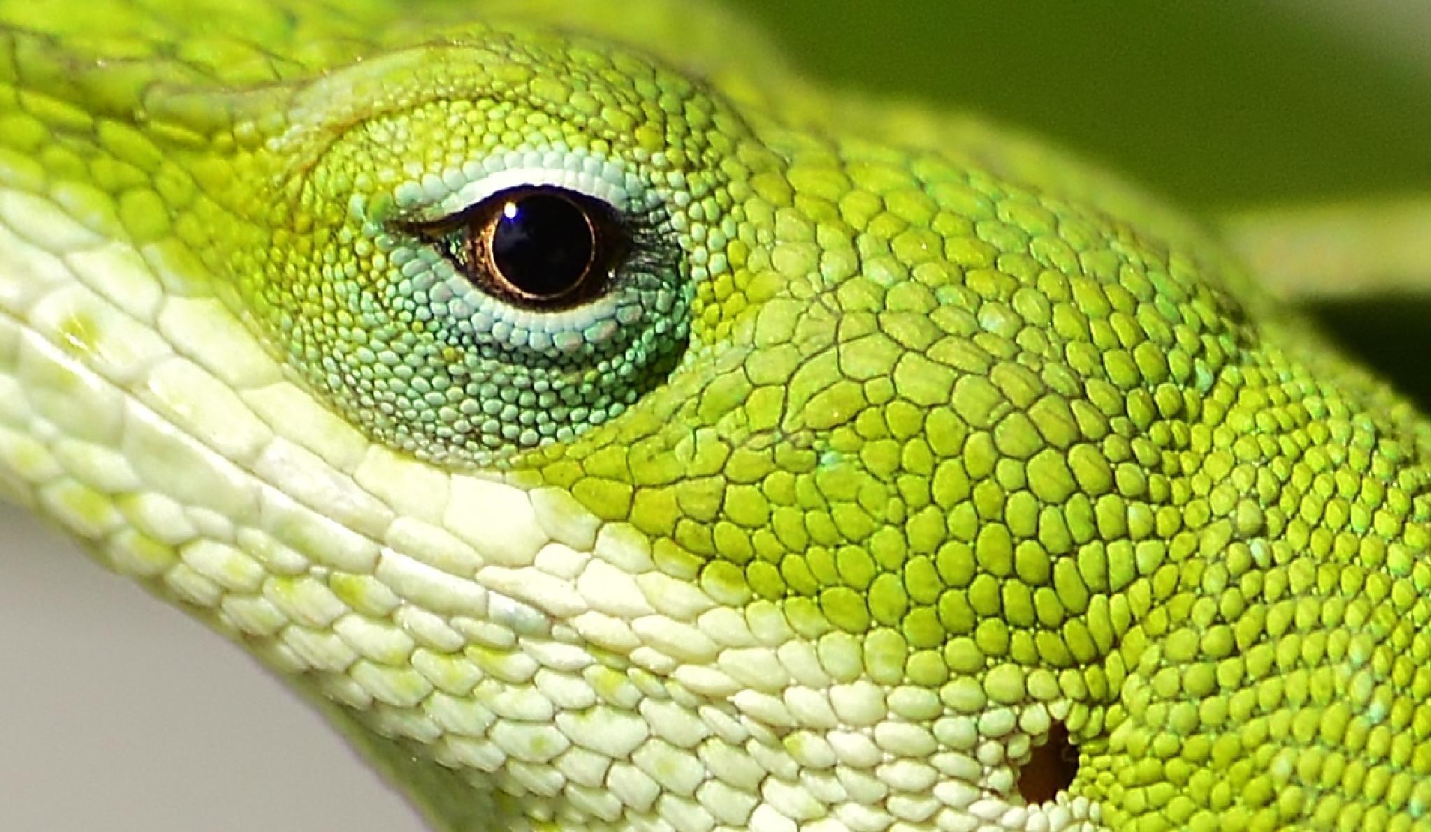 Eye of Green Anole! by jamie.dorton