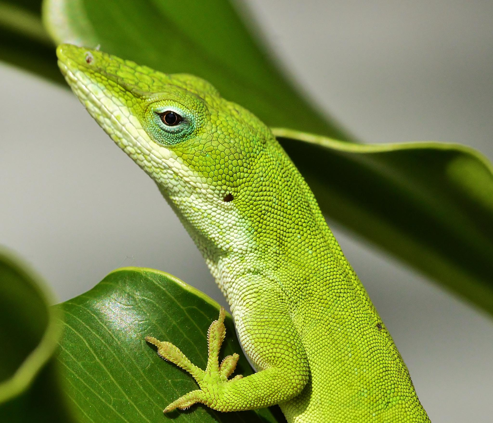 Green Anole by jamie.dorton