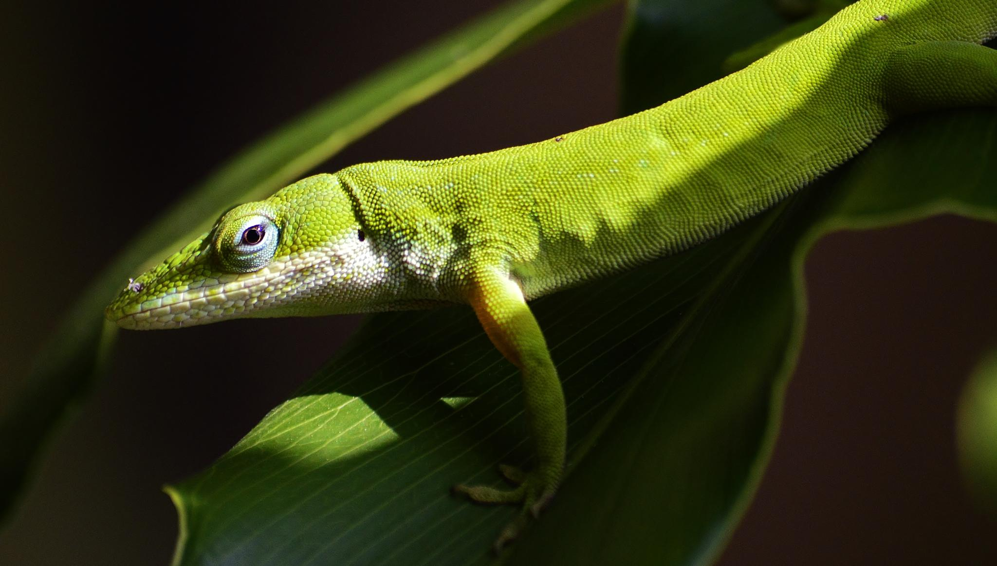 Green Anole by jamie.dorton
