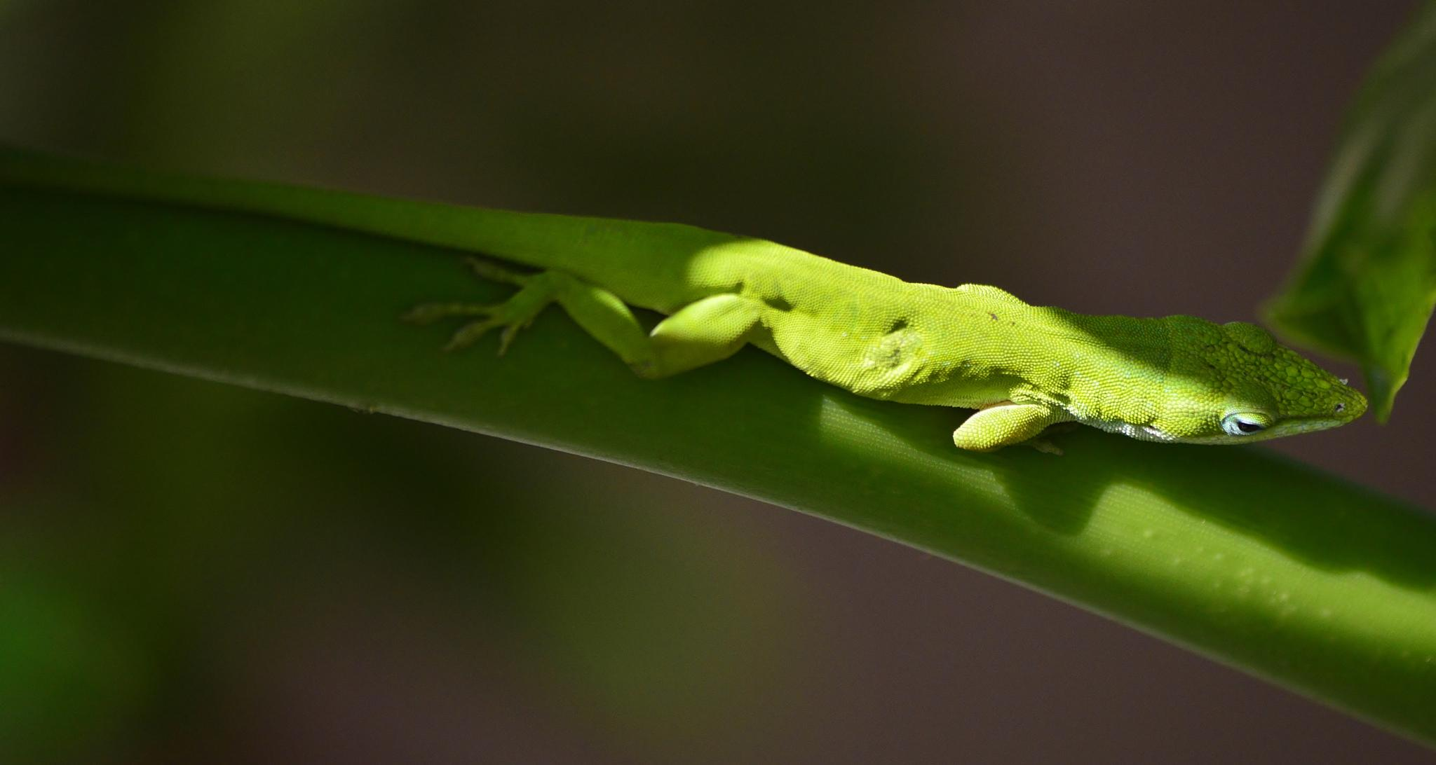Ive known this Green anole for 3 years. by jamie.dorton