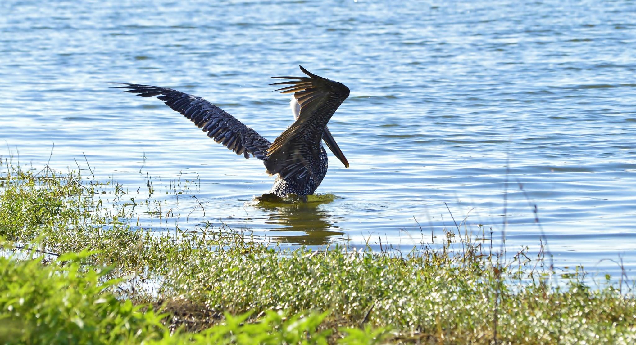 Brown Pelican by jamie.dorton