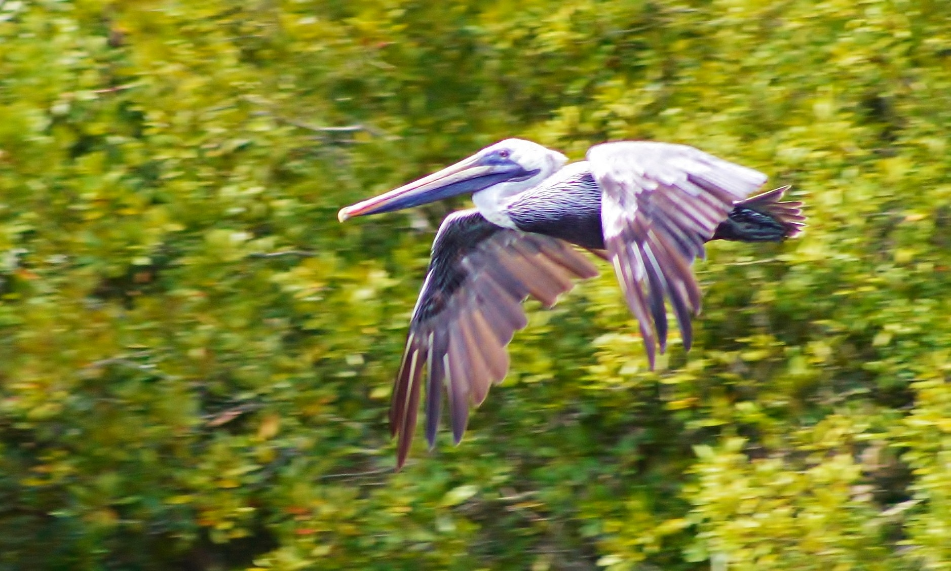 Speedy Brown Pelican by jamie.dorton