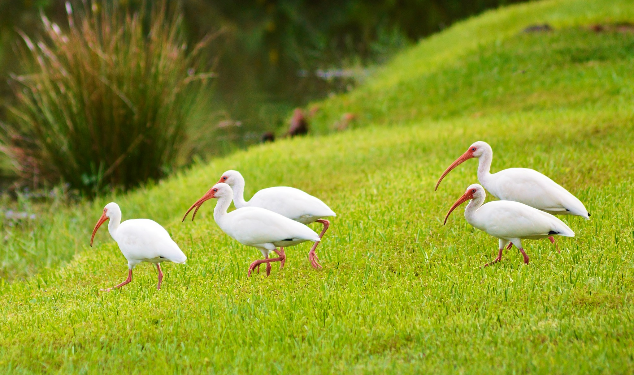White Ibis by jamie.dorton