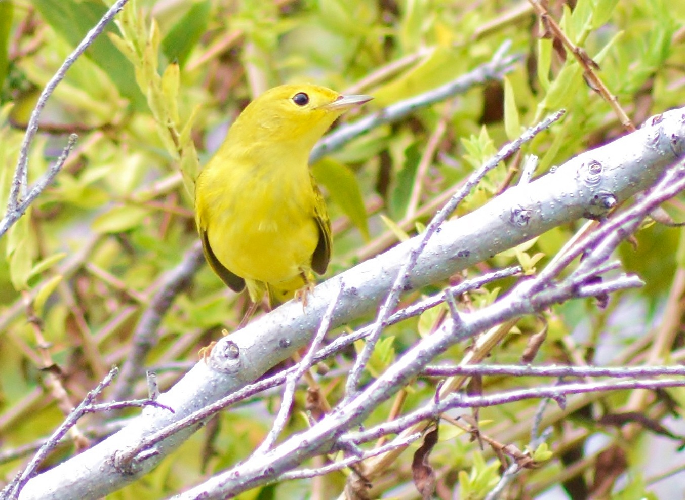 Yellow Warbler by jamie.dorton